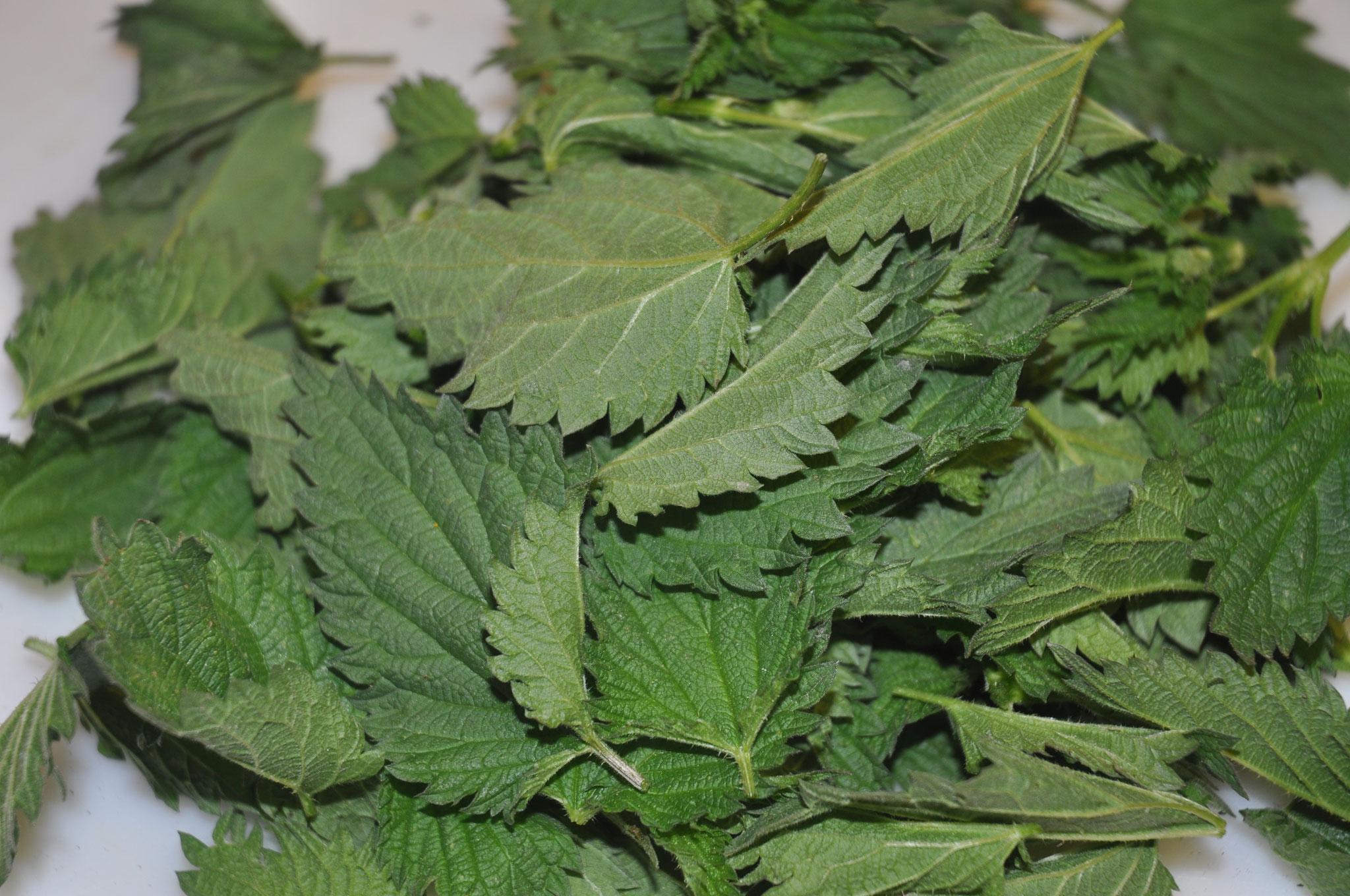 Orties feuilles