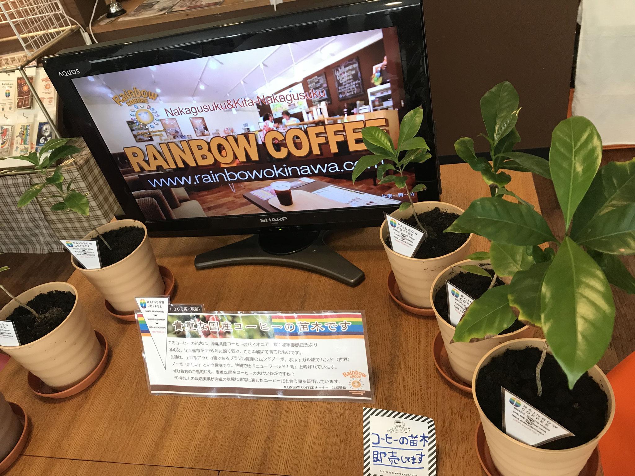 比嘉農園より直送のコーヒーの苗木