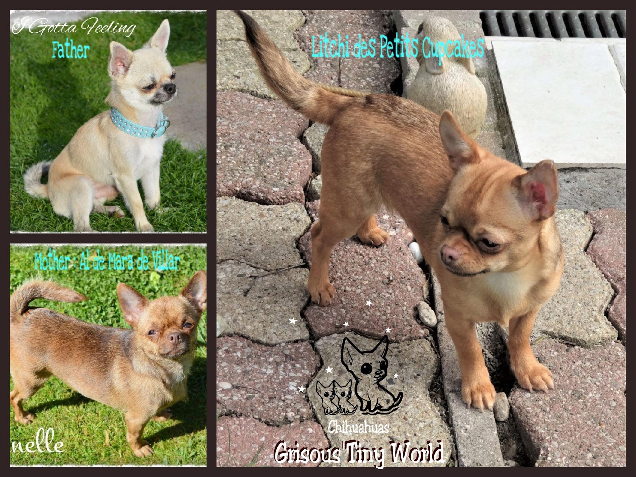 Litchi, jeune mâle Chihuahua fauve