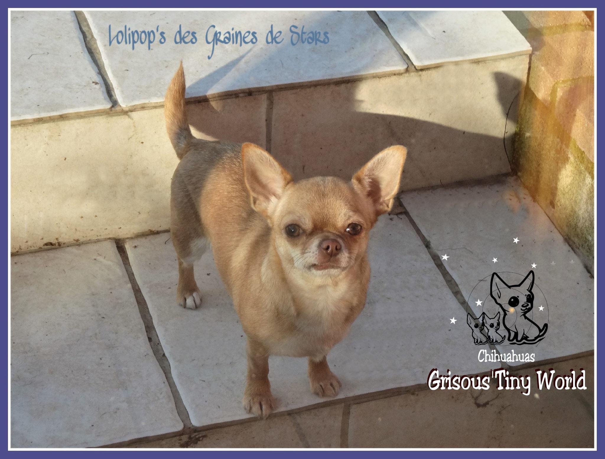 Jeune femelle Chihuahua fauve
