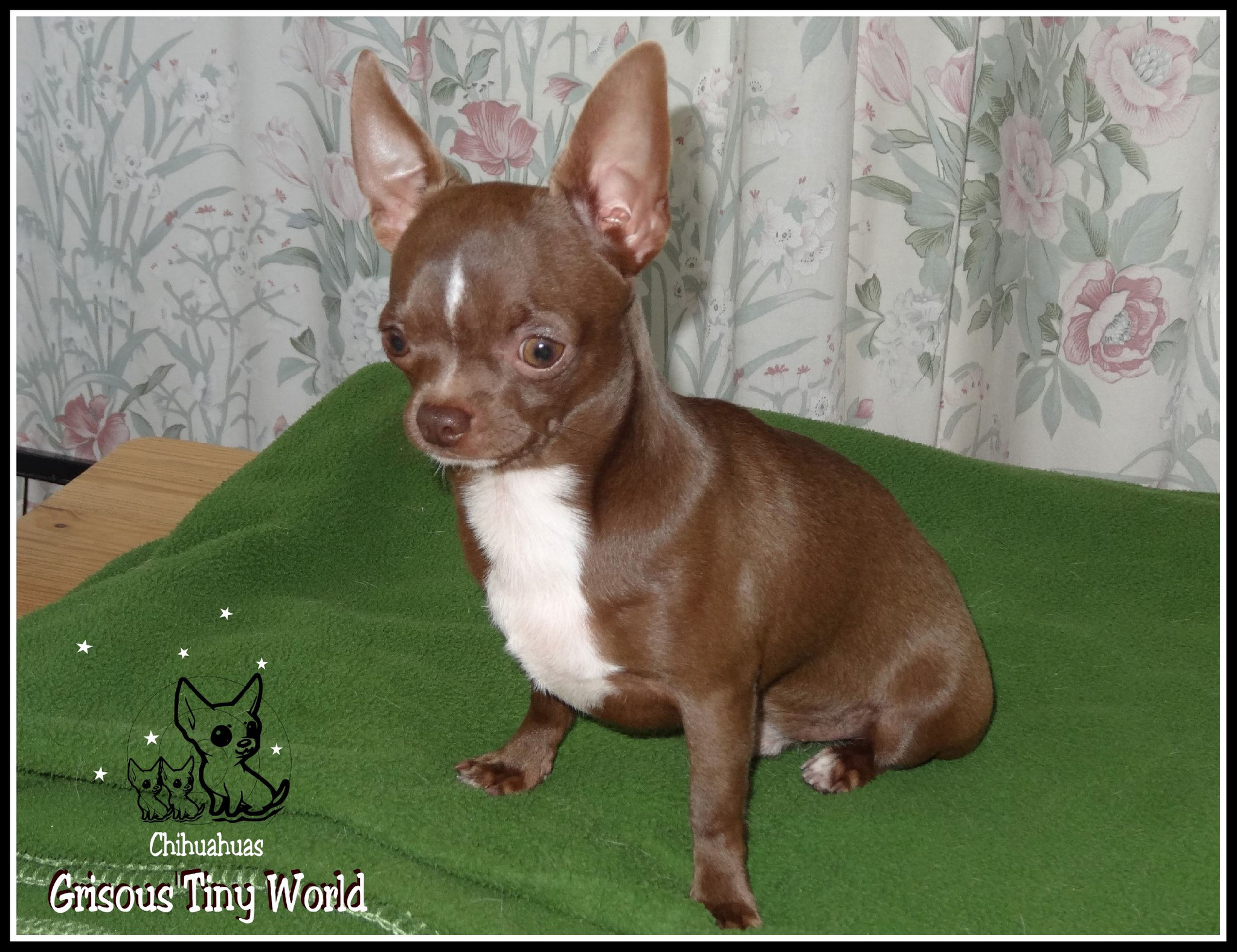 My Sweet Cookie, jeune mâle Chihuahua de l'élevage du Grisous'Tiny World