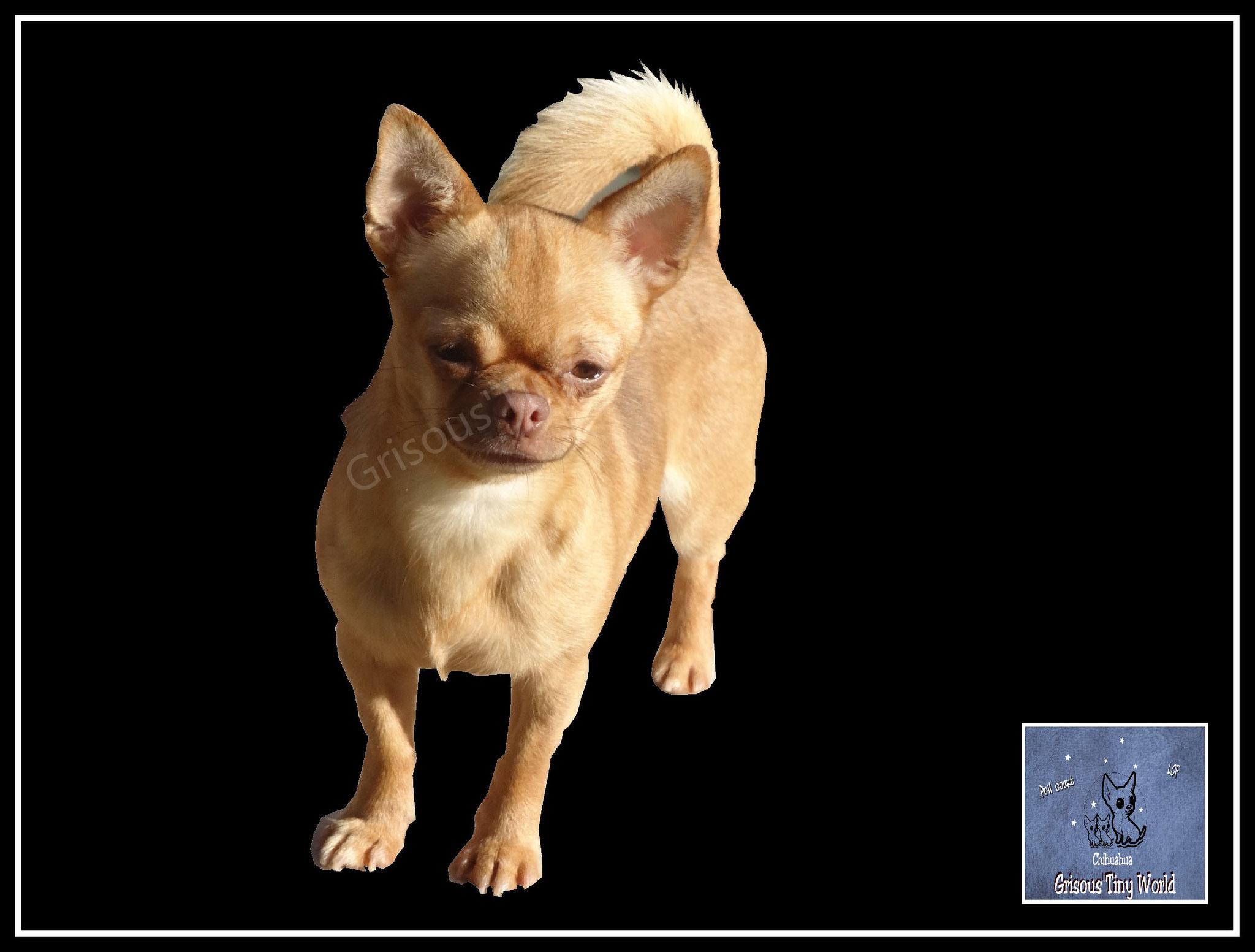 Litchi jeune mâle Chihuahua fauve