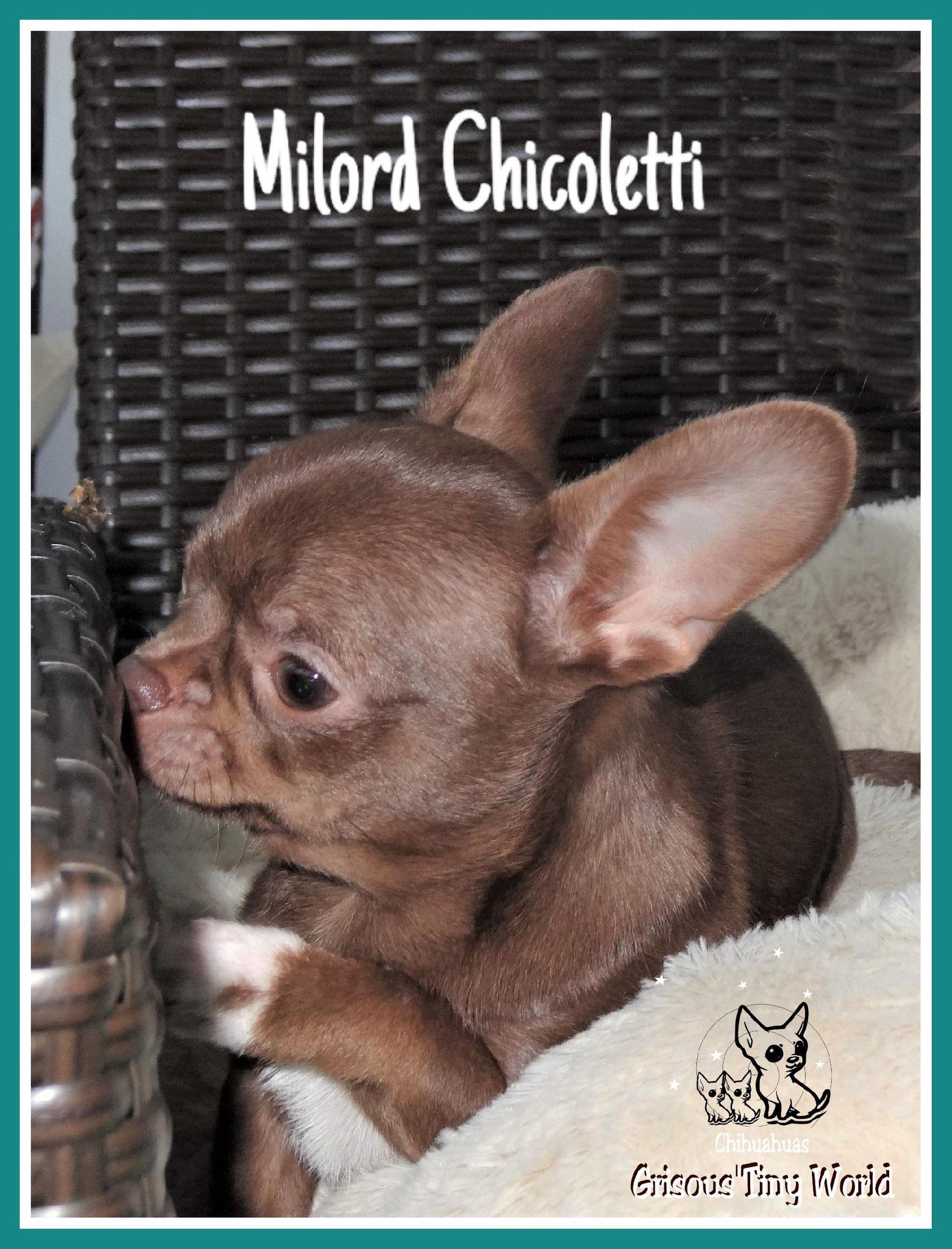 Photo de Milord, jeune mâle Chihuahua de couleur chocolat