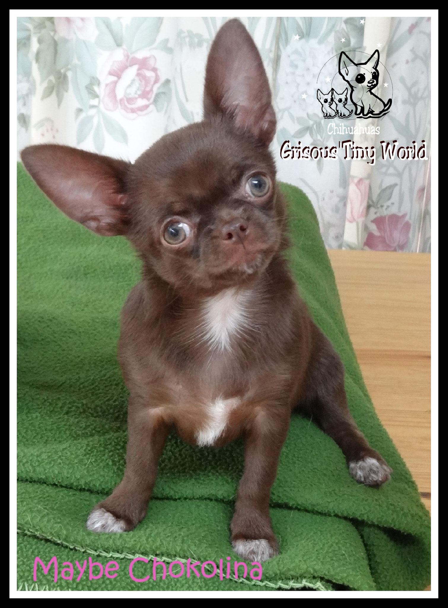 Chiot Chihuahua chocolat foncé