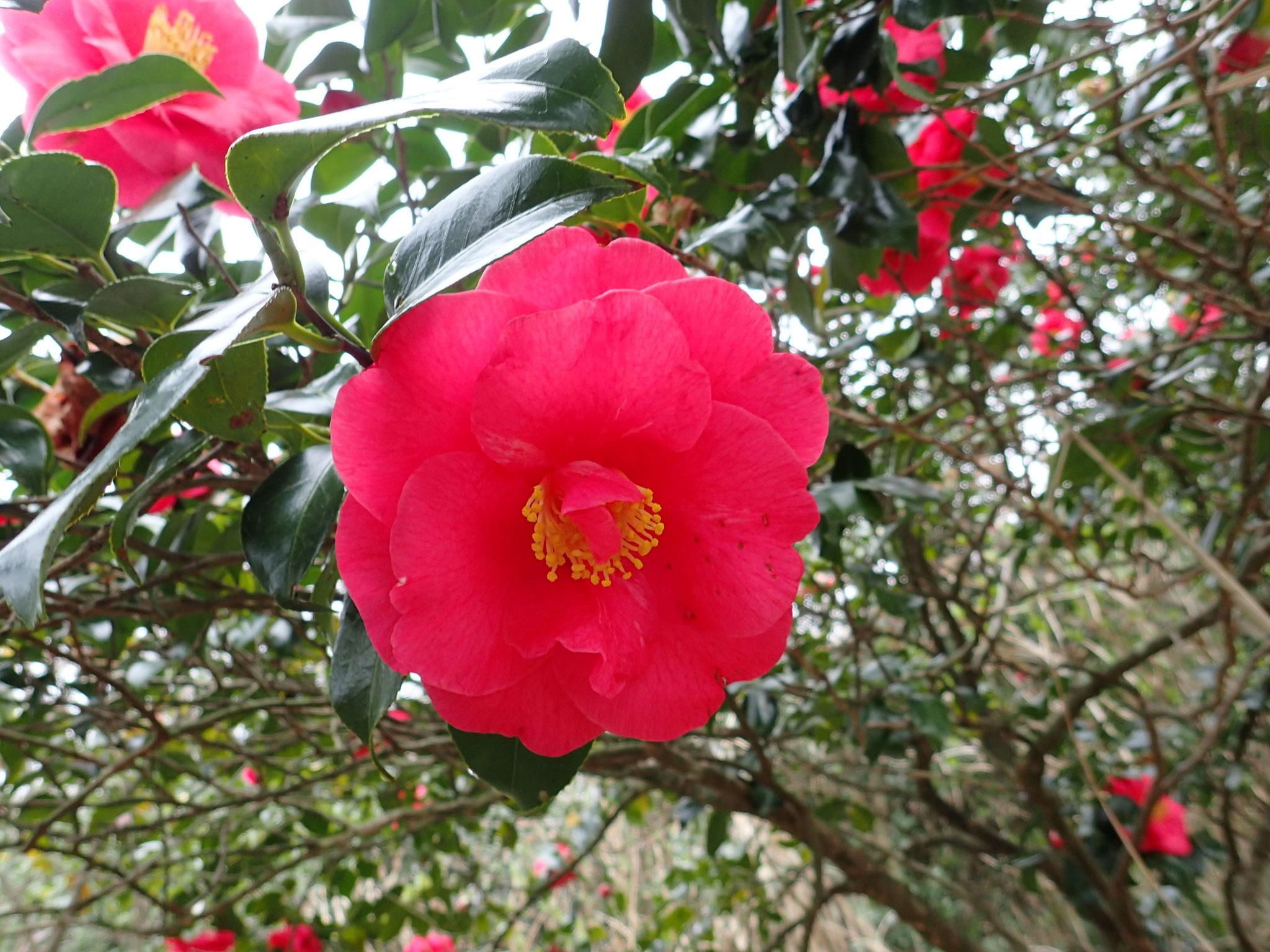 色鮮やかなツバキの花