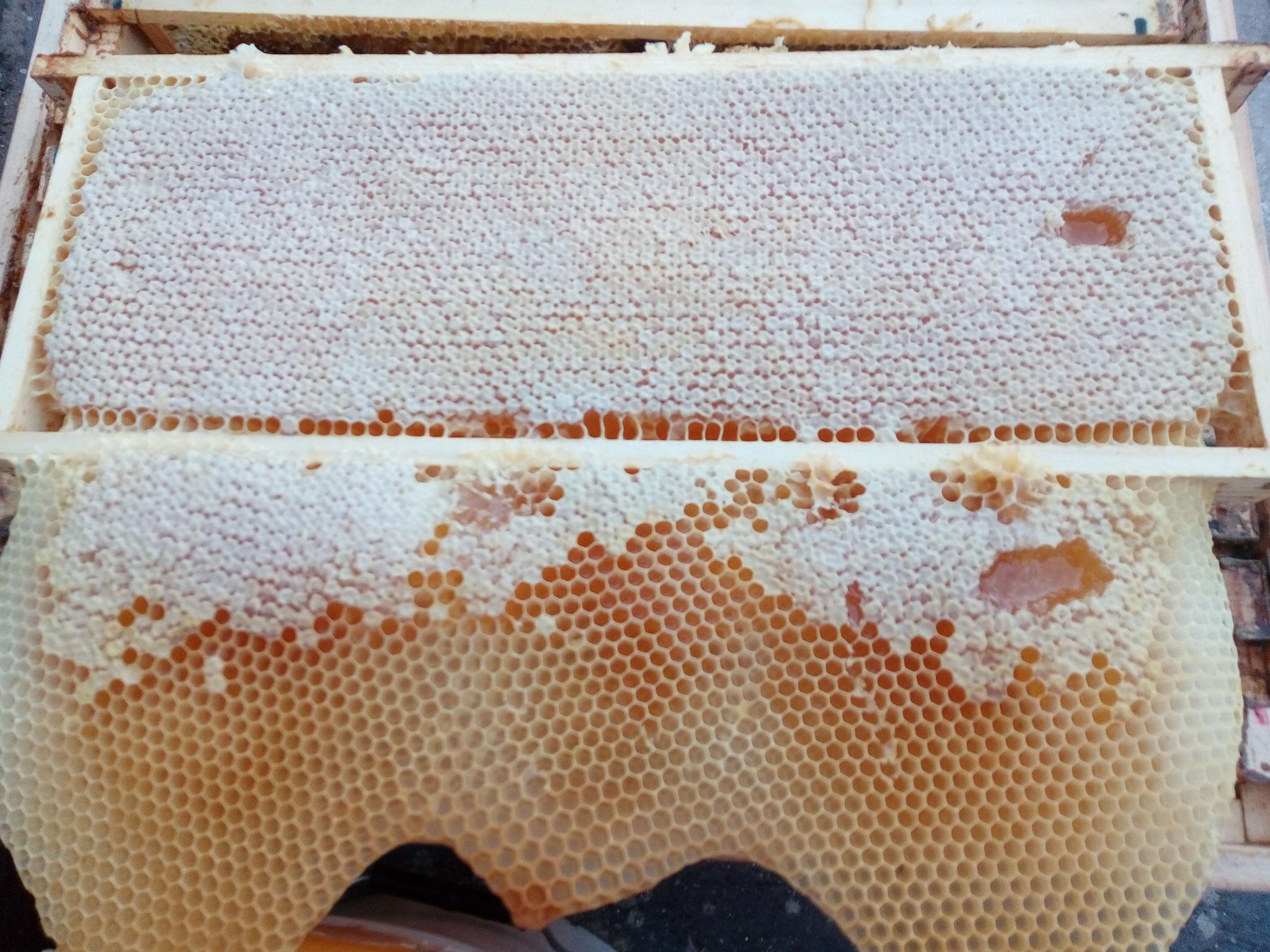 Honigwabe mit Wildbau