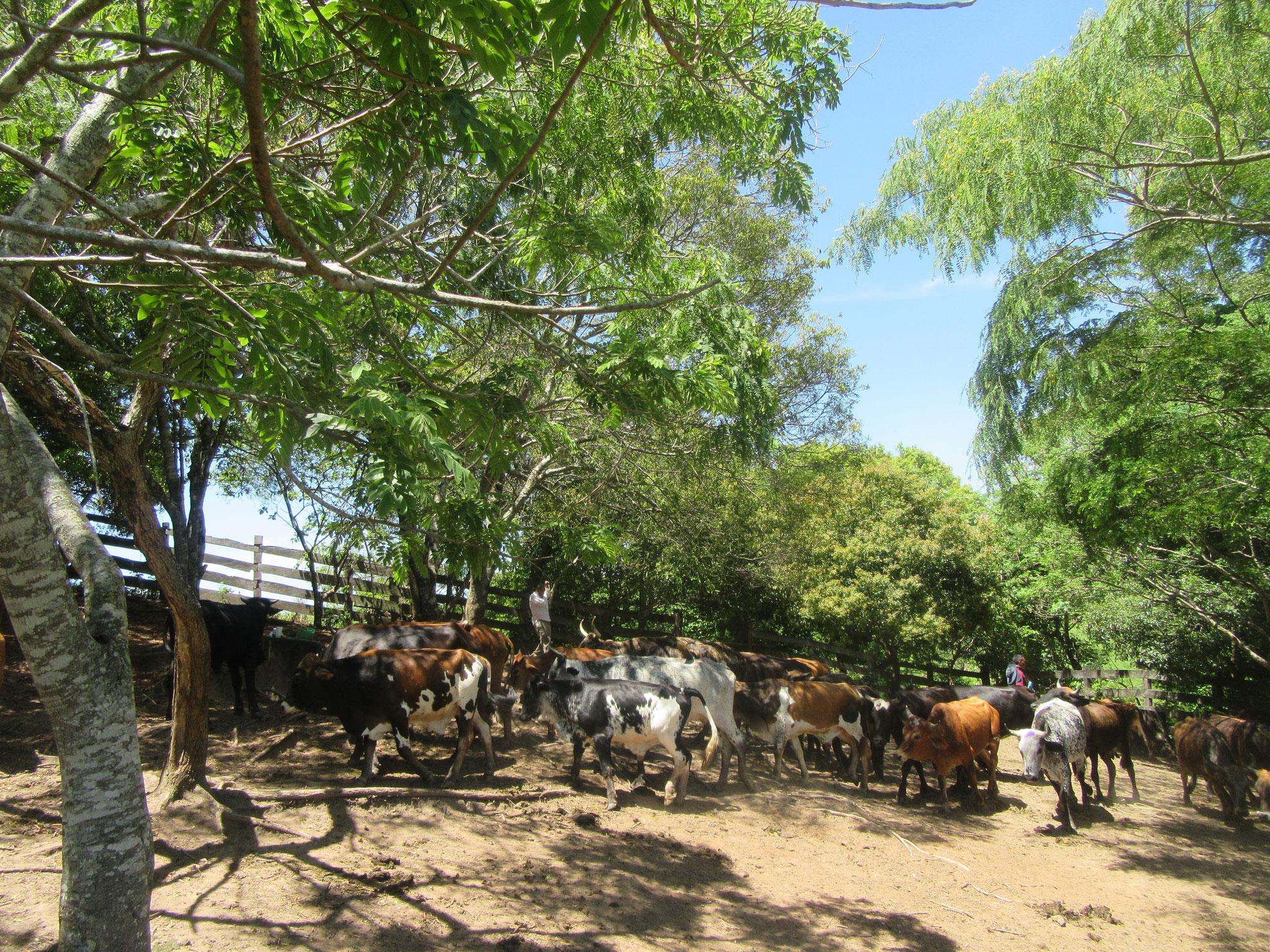 Hier ein paar unserer Rinder, die glücklich im Freien leben