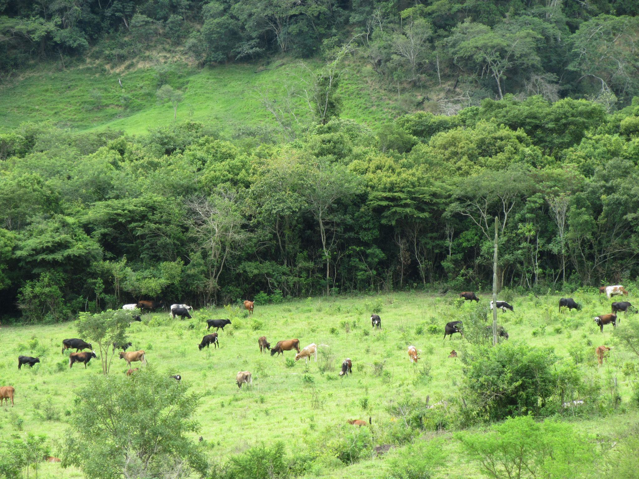 Im Zufluchtsort haben wir bereits über 130 Rinder