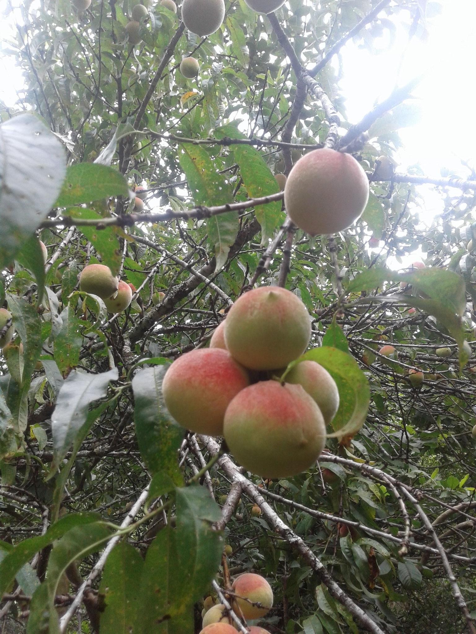 Hier wachsen ziemlich alle Fruchtsorten, die man sich vorstellen kann