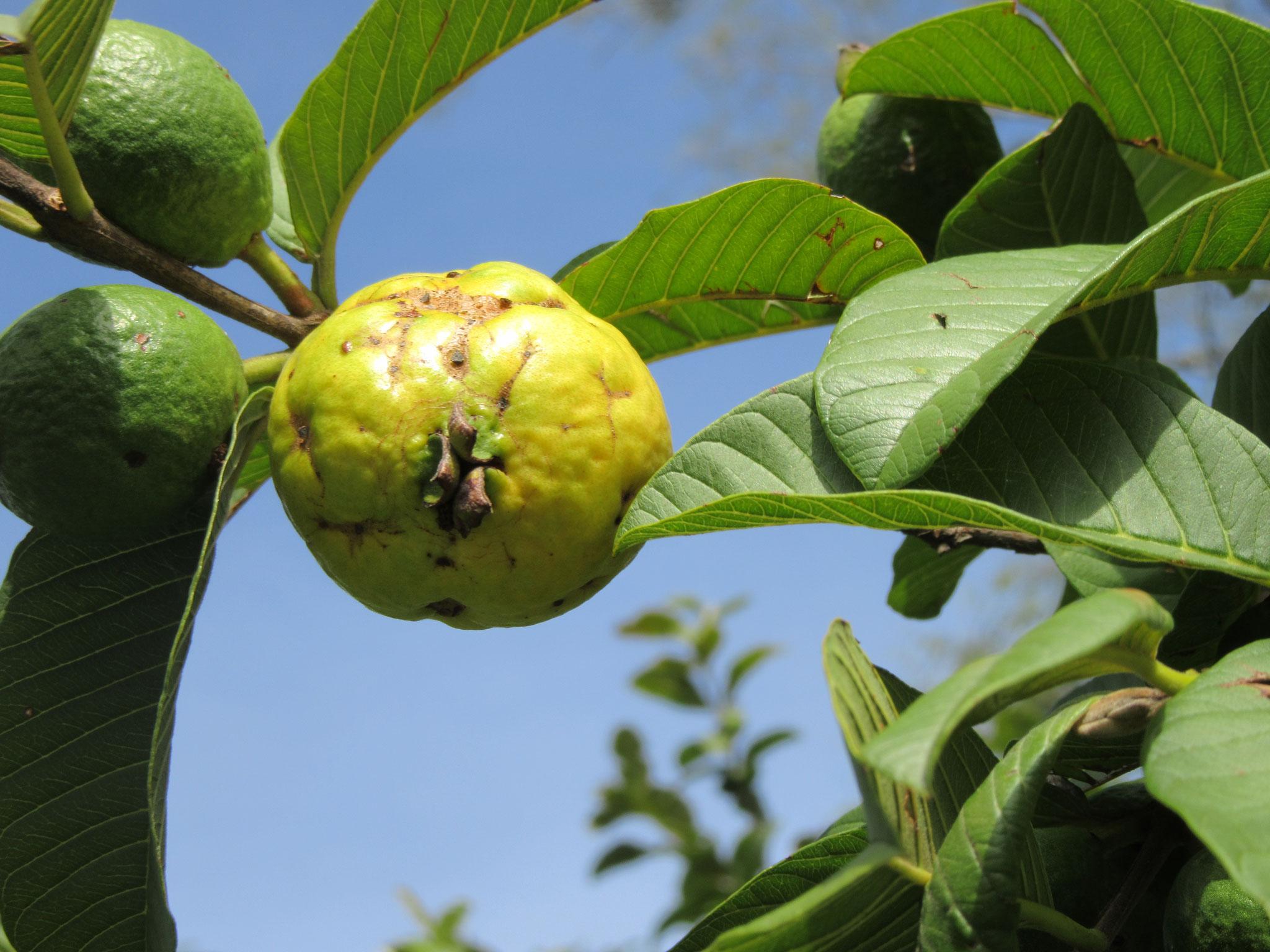 Dank dem ausgeglichenen Klima unsereres Hochplateaus haben wir eine erstaunliche Frucht- und Gemüsevielfalt