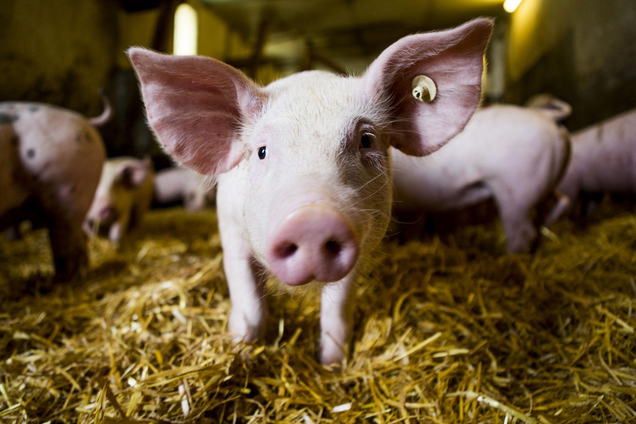 1990 Beginn der Belieferung von Gastronomiebetrieben mit Schweinefleisch und Wurstwaren.