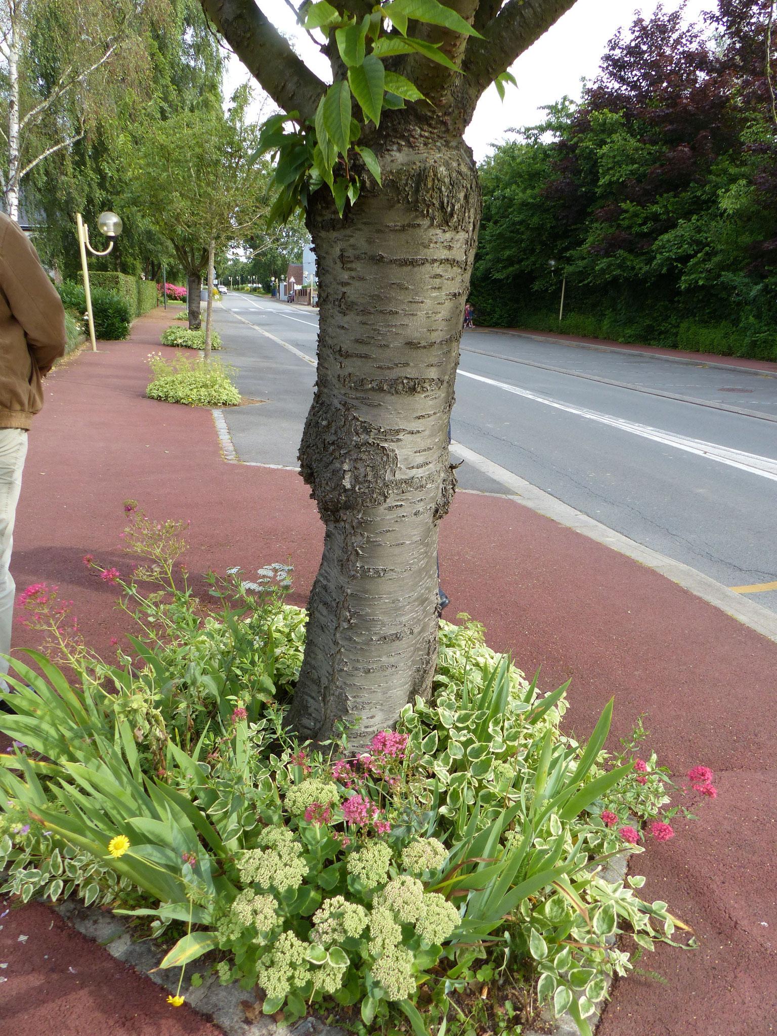 Le massif fleuri autour de l'arbre à Englos conserve l'eau en plus d'être esthétique