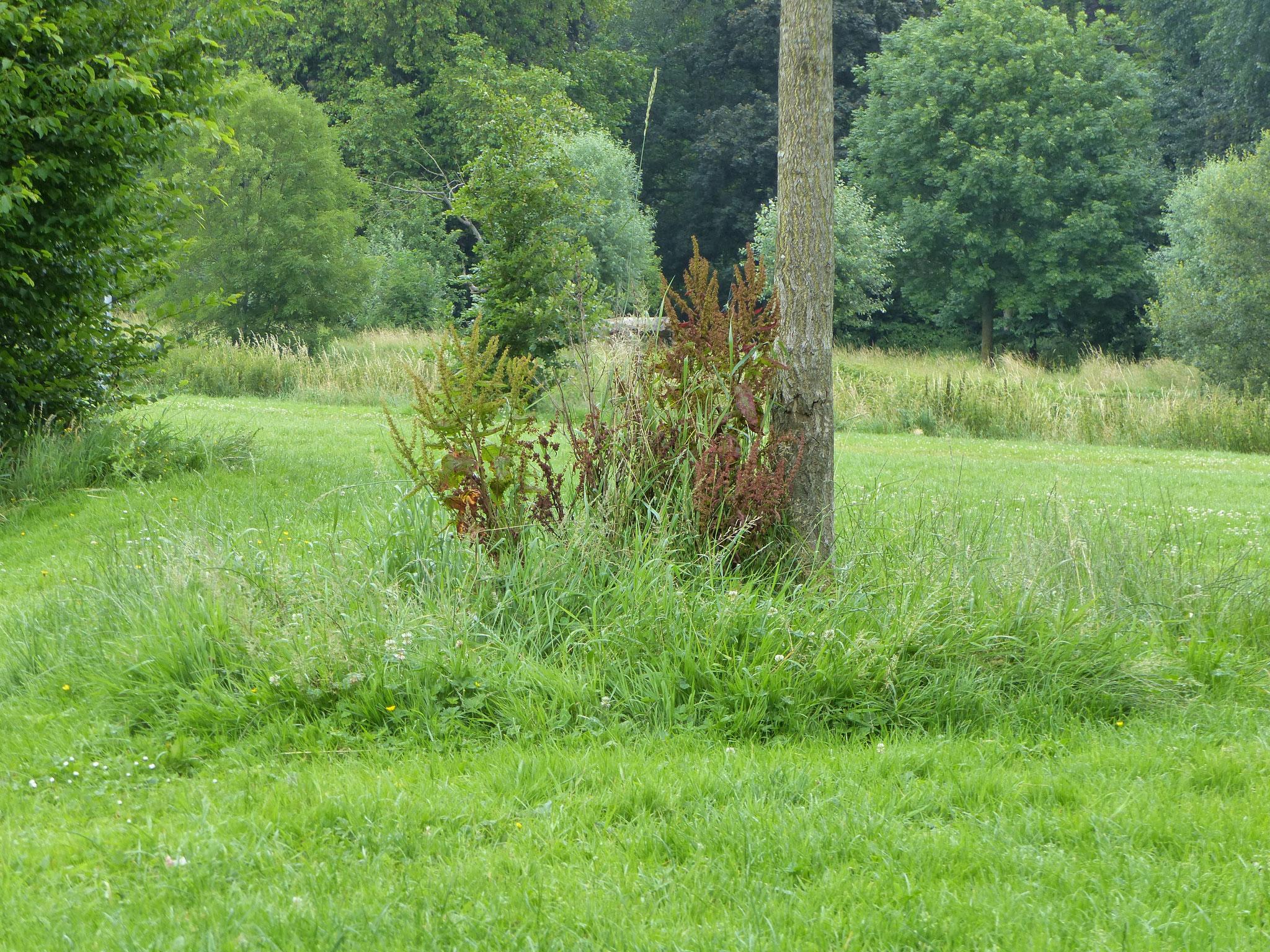 La végétation se développe au pied de l'arbre à Lambersart