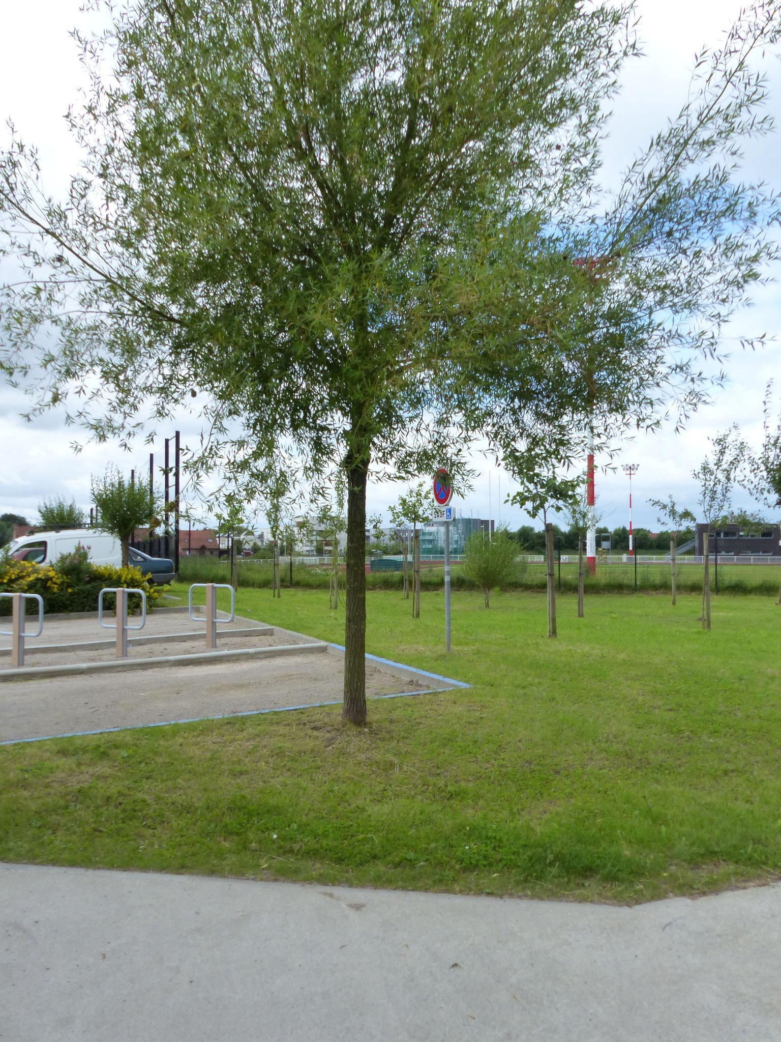 Jeunes arbres plantés à La Madeleine