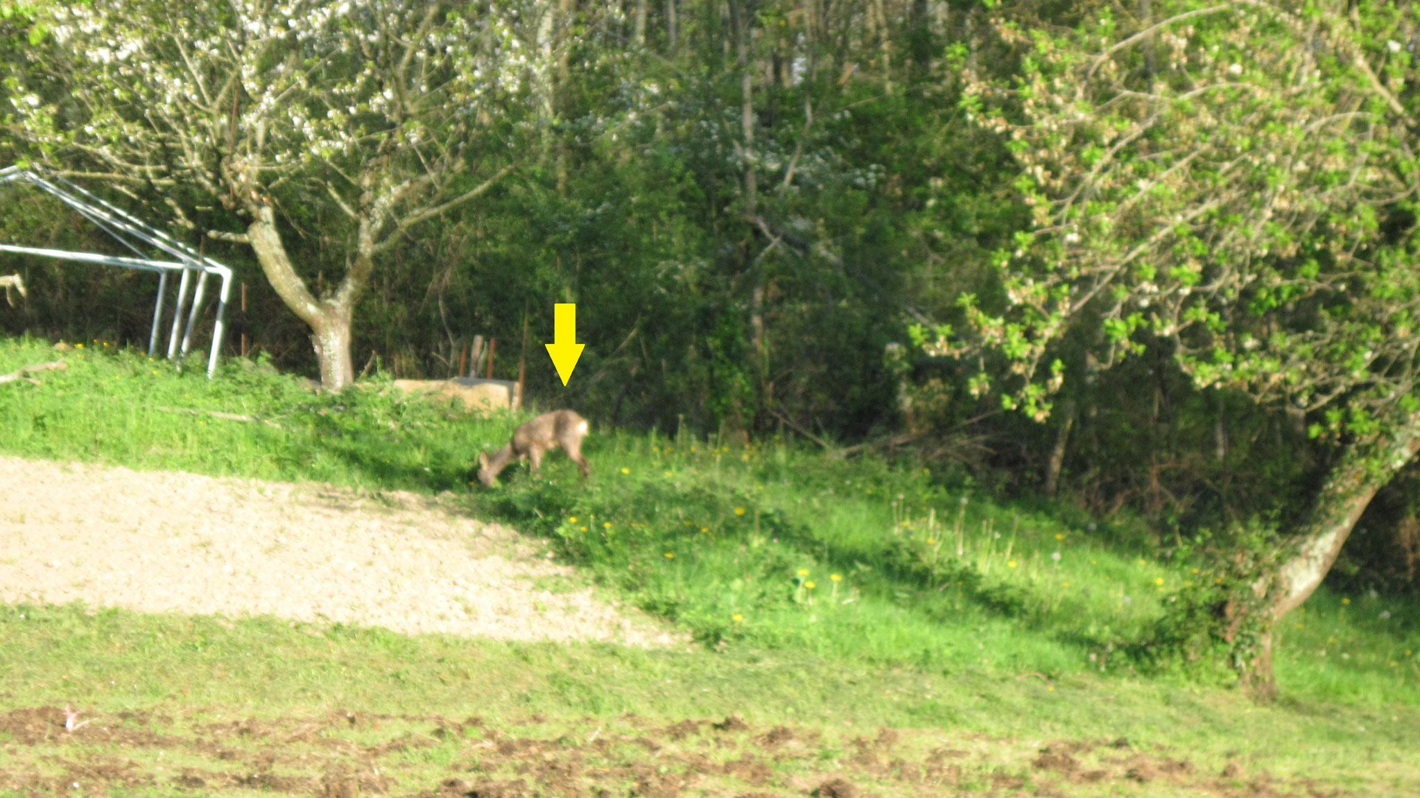 chevreuil dans le jardin le Granjou près de Lavelanet 09