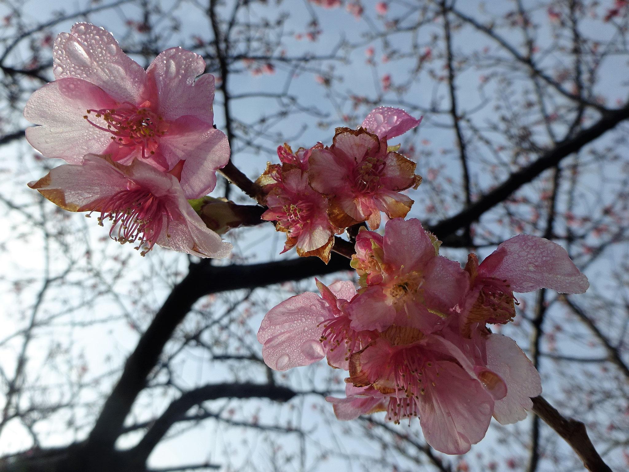 2月7日(木)撮影 1分咲きです。