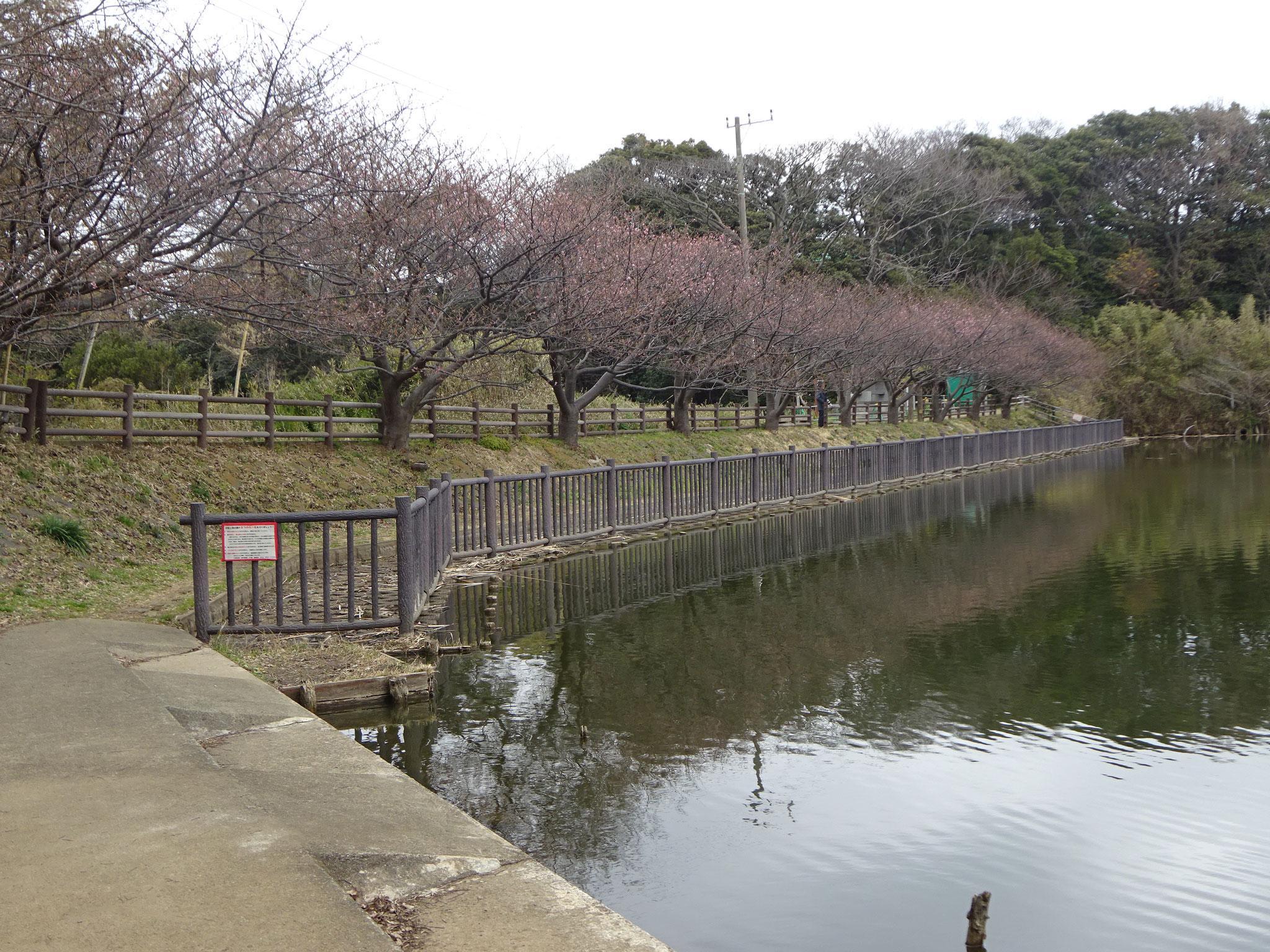 2月5日(火)撮影 小松ヶ池 1分咲きです。