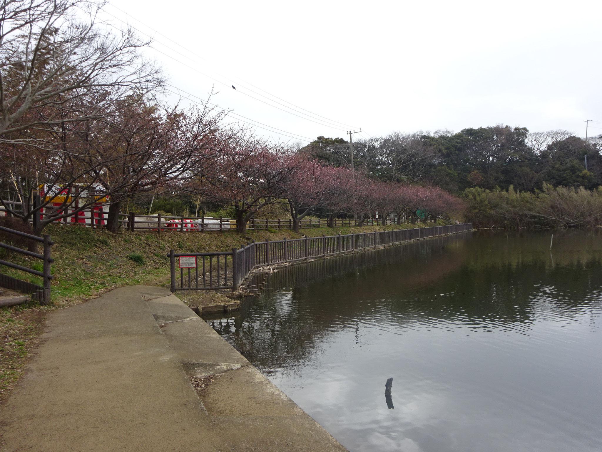 2月9日(土)撮影 小松ヶ池 2分~3分咲きです。