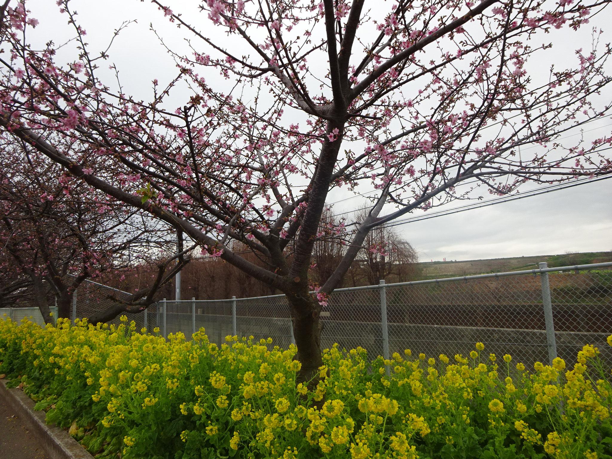 2月9日(土)撮影 早咲きの桜の木は2分~3分咲きです。