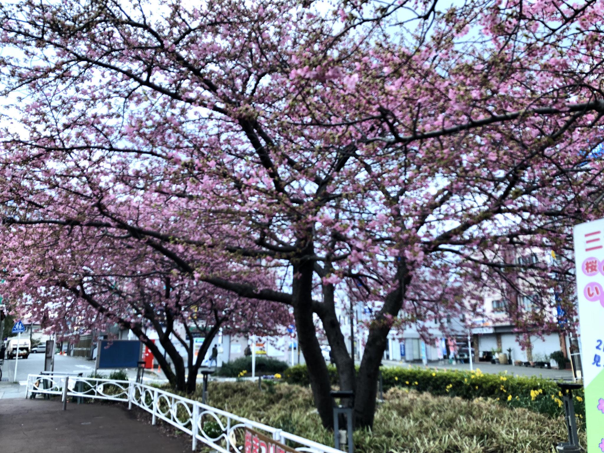2月21日(木)撮影 三浦海岸駅前 5分咲きです。