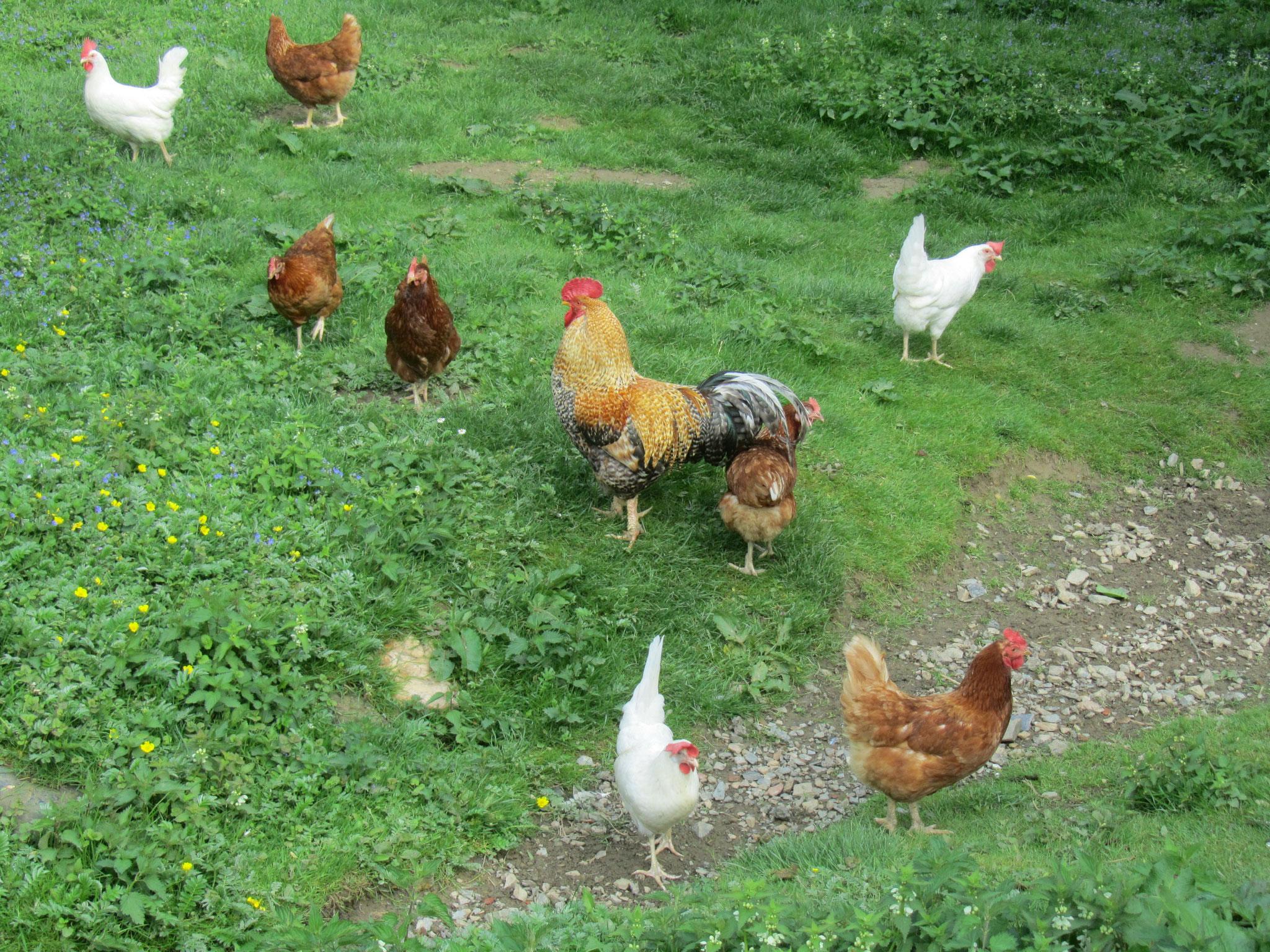 Die Hühner