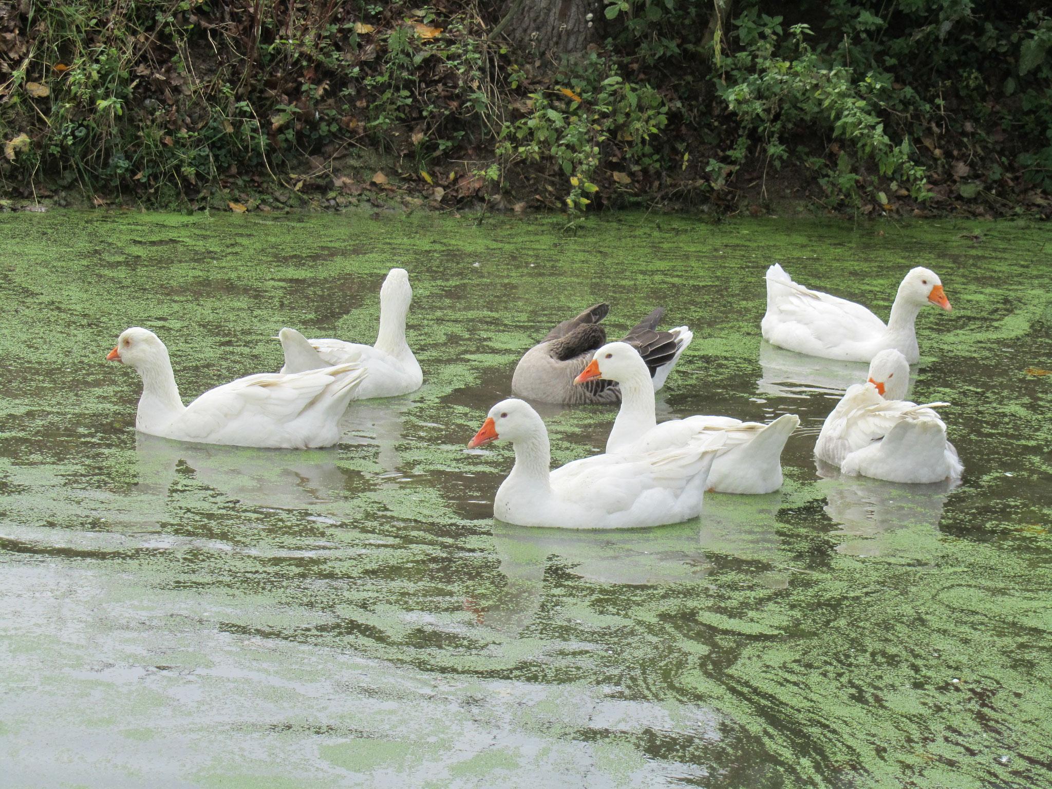 Die Gänse auf dem Teich unterhalb unseres Hofes
