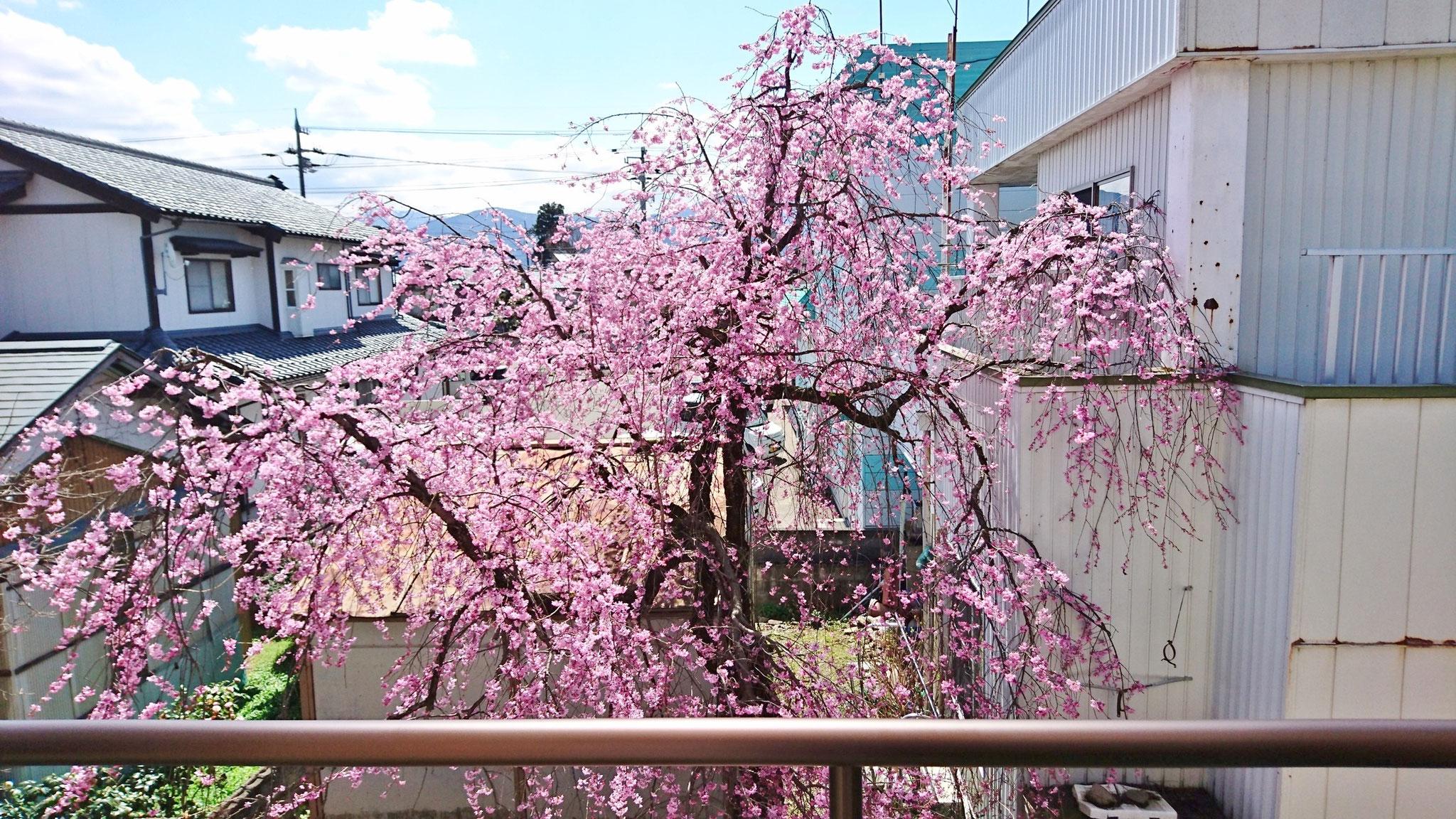 2階ベランダからの桜