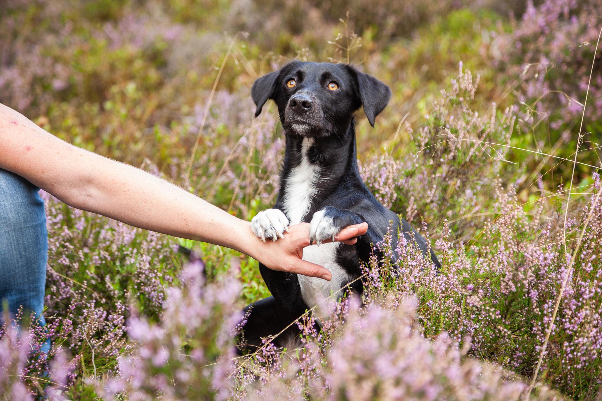 Ein Hund sitzt in der Heide auf den Hinterbeinen und stützt sich mit den Vorderpfoten auf dem Arm seiner Besitzerin ab