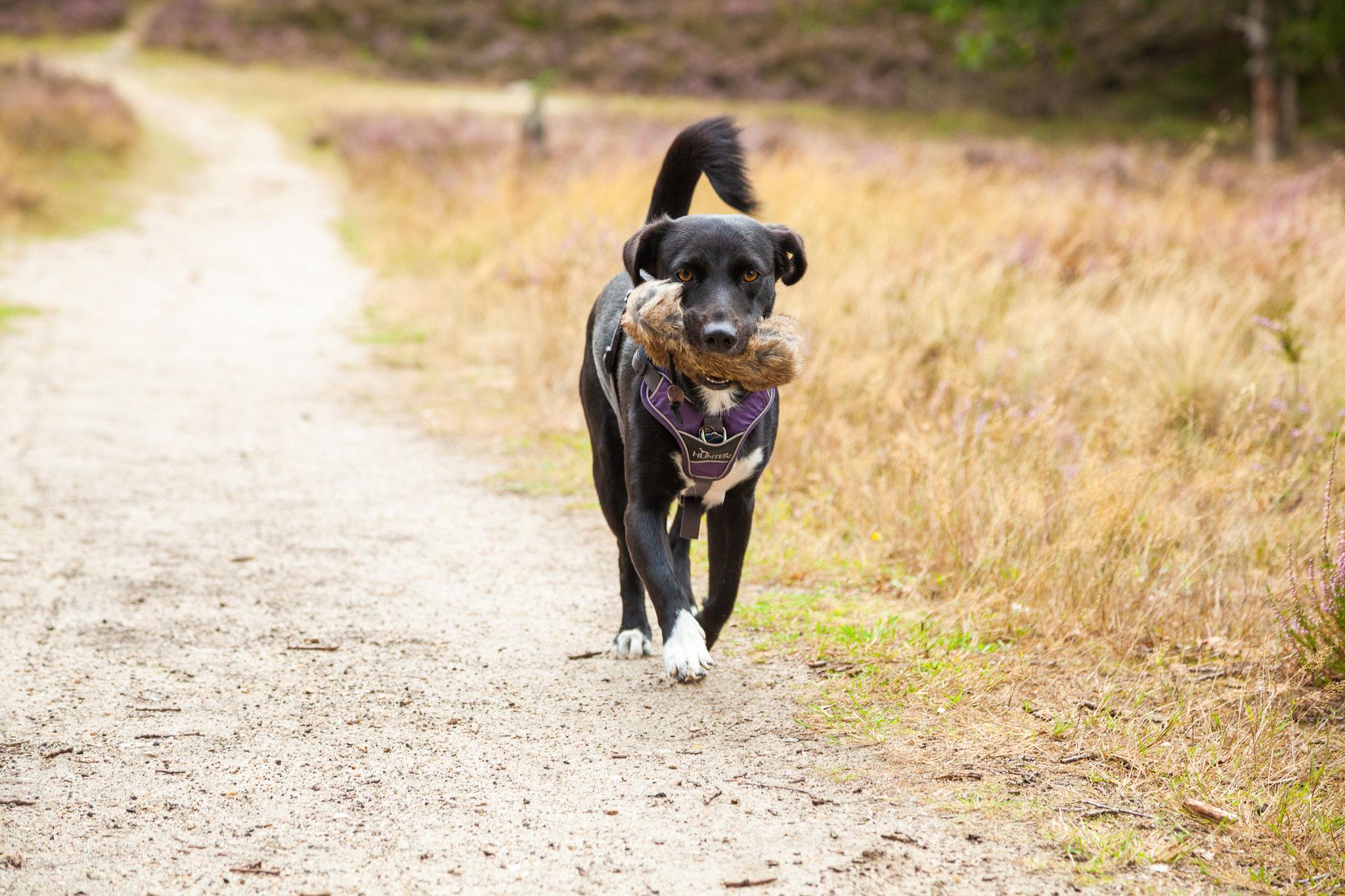 Ein Hund läuft auf einem Weg und trägt einen Dummy
