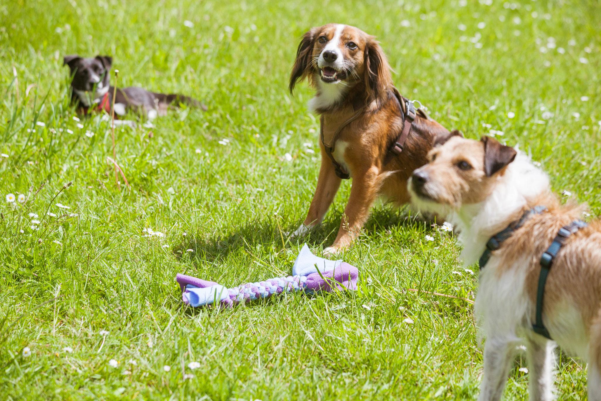 Drei Hunde auf einer Wiese in der Hundeschule von Rebeccas Hundetraining in Altona