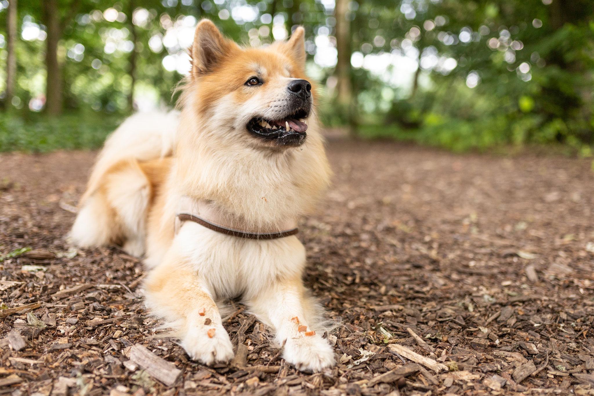 Ein Hund liegt beim Kurs Alltagshelden auf dem Waldboden und wartet auf ein Signal