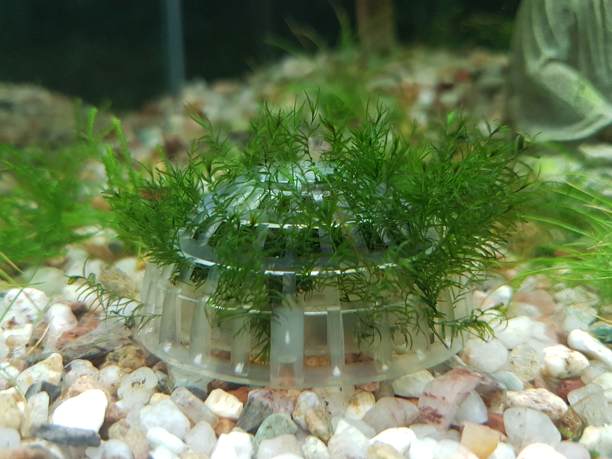 Fissidens fontanus wächst