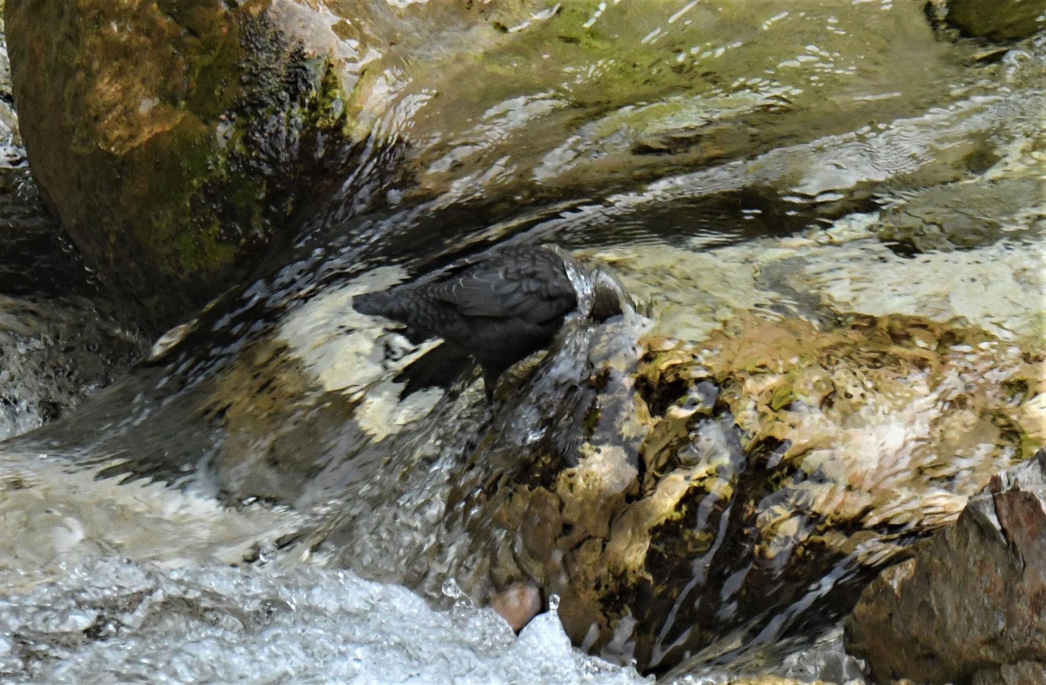 Mit ihren langen Zehen kann sie selbst in stark stömendem Wasser festhalten und vollständig untertauchen.