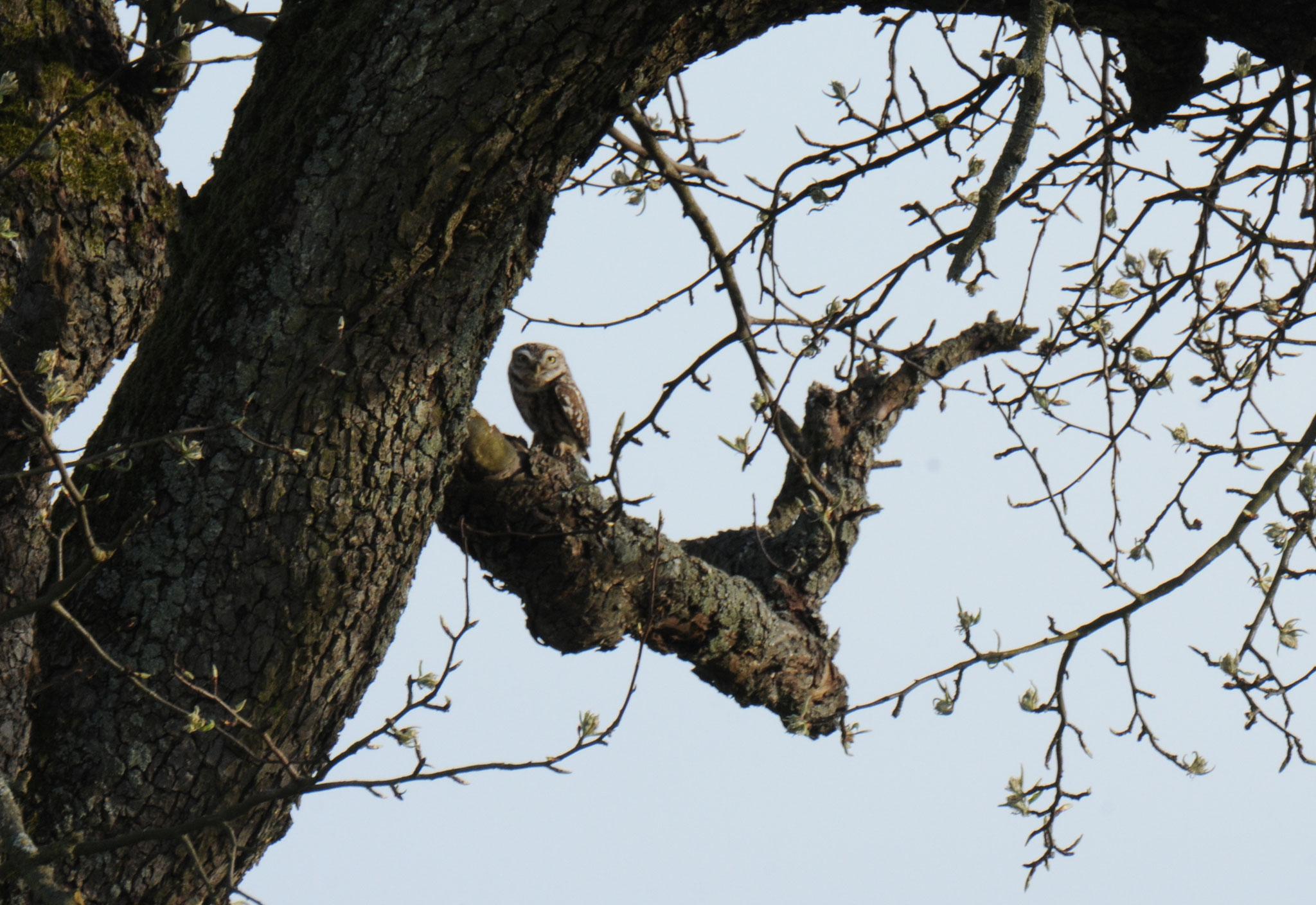 Er nistet in hohlen Ästen der Streuobstbäume in Wettersbach.