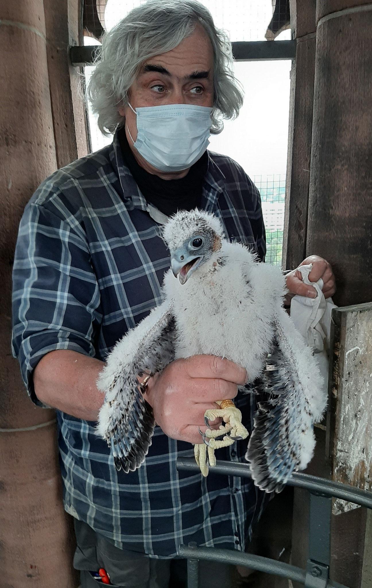 Frank Rau von der Aktionsgemeinschaft Wanderfalkenschutz (AGW)) beringt einen Jungvogel (Foto: J. Schröder)