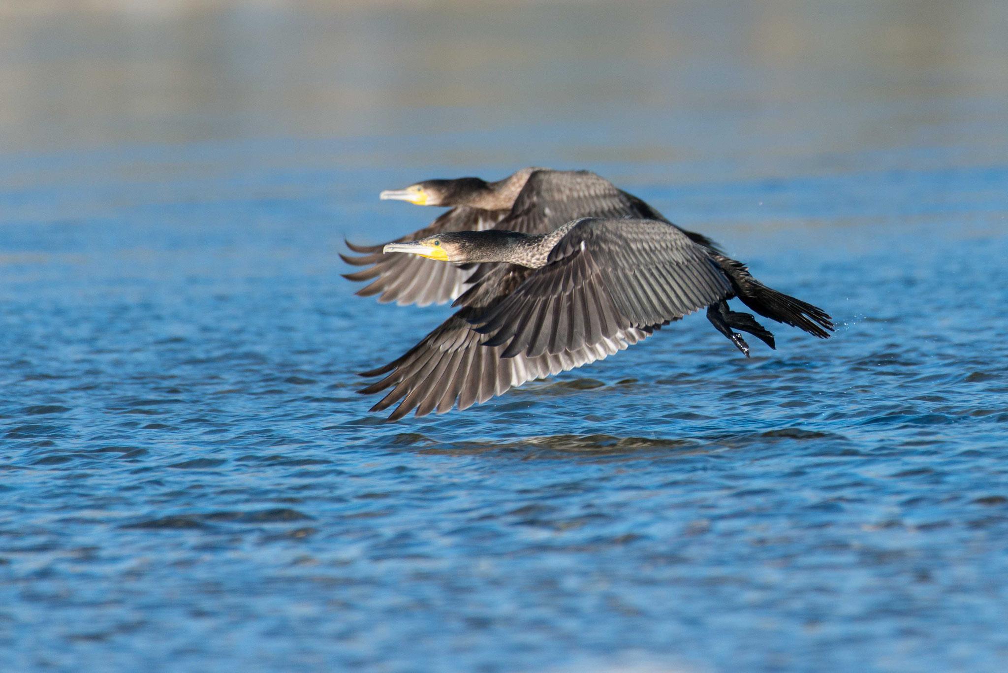Der Altrheinbogen um die Halbinsel Rappenwört ist ein Vogelschutzgebiet. Auf den offenen Wasserflächen kann man verschiedene Entenarten, Kormorane, Grau- und Silberreiher, Bläß- und Teichhühner, Zwergtaucher u.v.a mehr sehen.