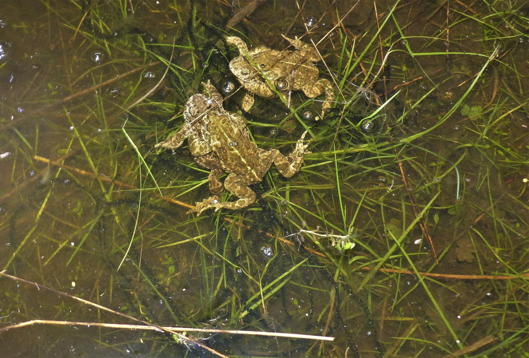 In den gut gefüllten Gräben der Salmenwiesen tummelten sich die laichenden Kreuzkröten.
