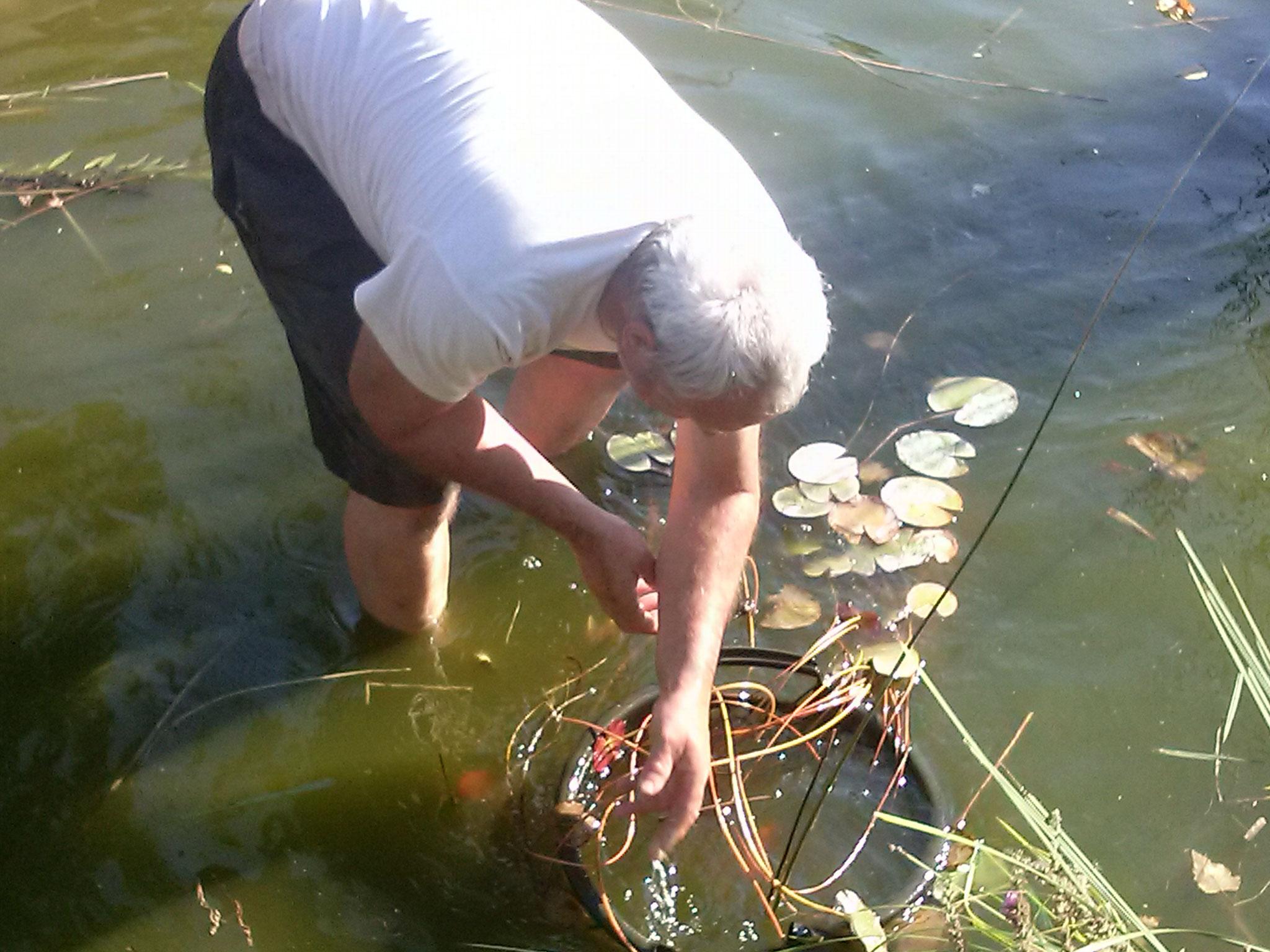 die Fische verstecken sich zwischen den Wurzeln und müssen einzeln herausgesammtelt werden