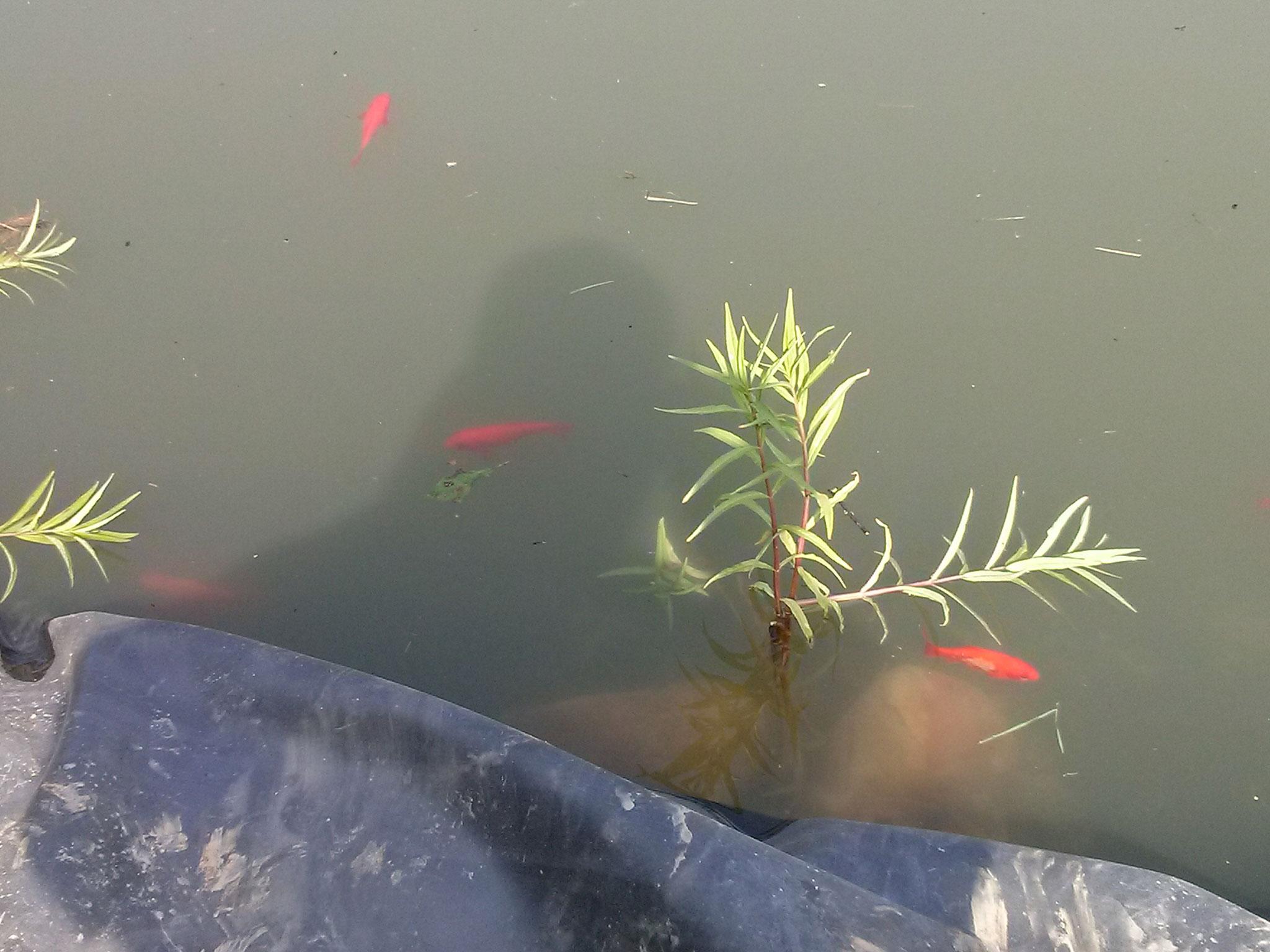 Weitere Pflanzen werden auf die neue Kante gepflanzt, die Fische nehmen den neuen Teich gut an.