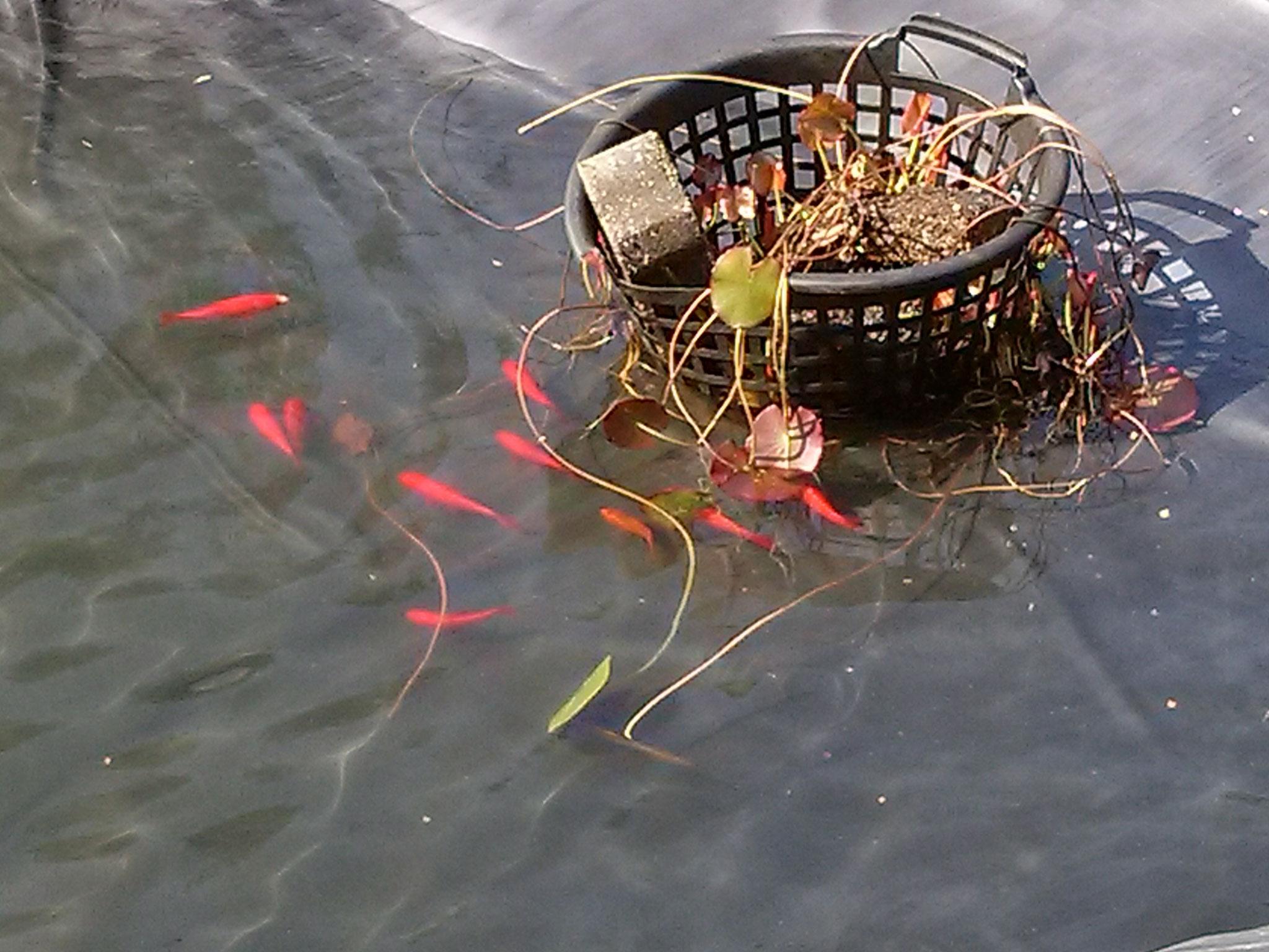 ... es folgen weitere Fische und die Seerosen.