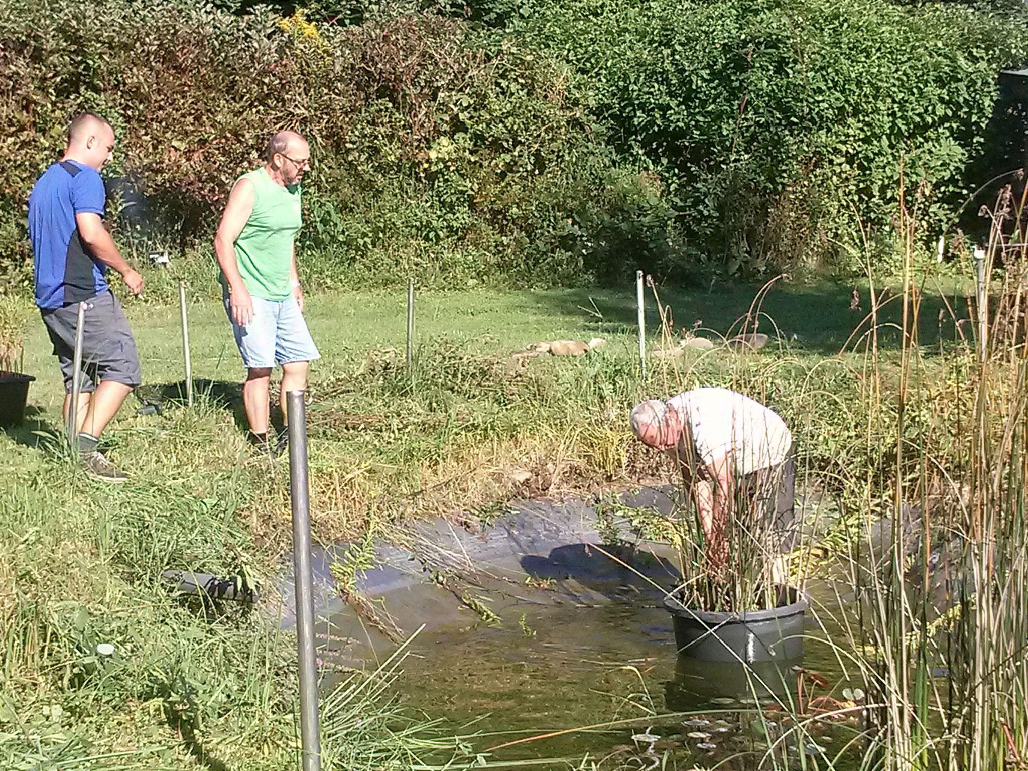 hier der schon abgenommene Wasserstand...... jetzt konnte man die weiteren Pflanzen aus dem Teich verbringen