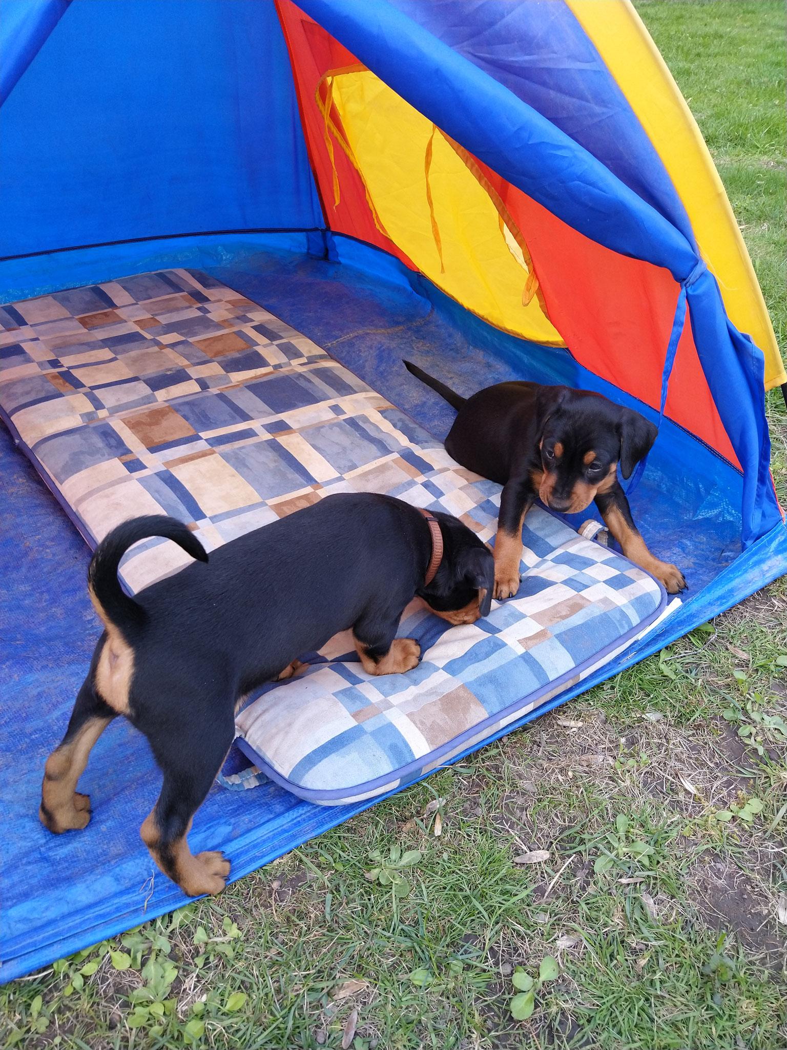 Buddy und Bessy im Zelt
