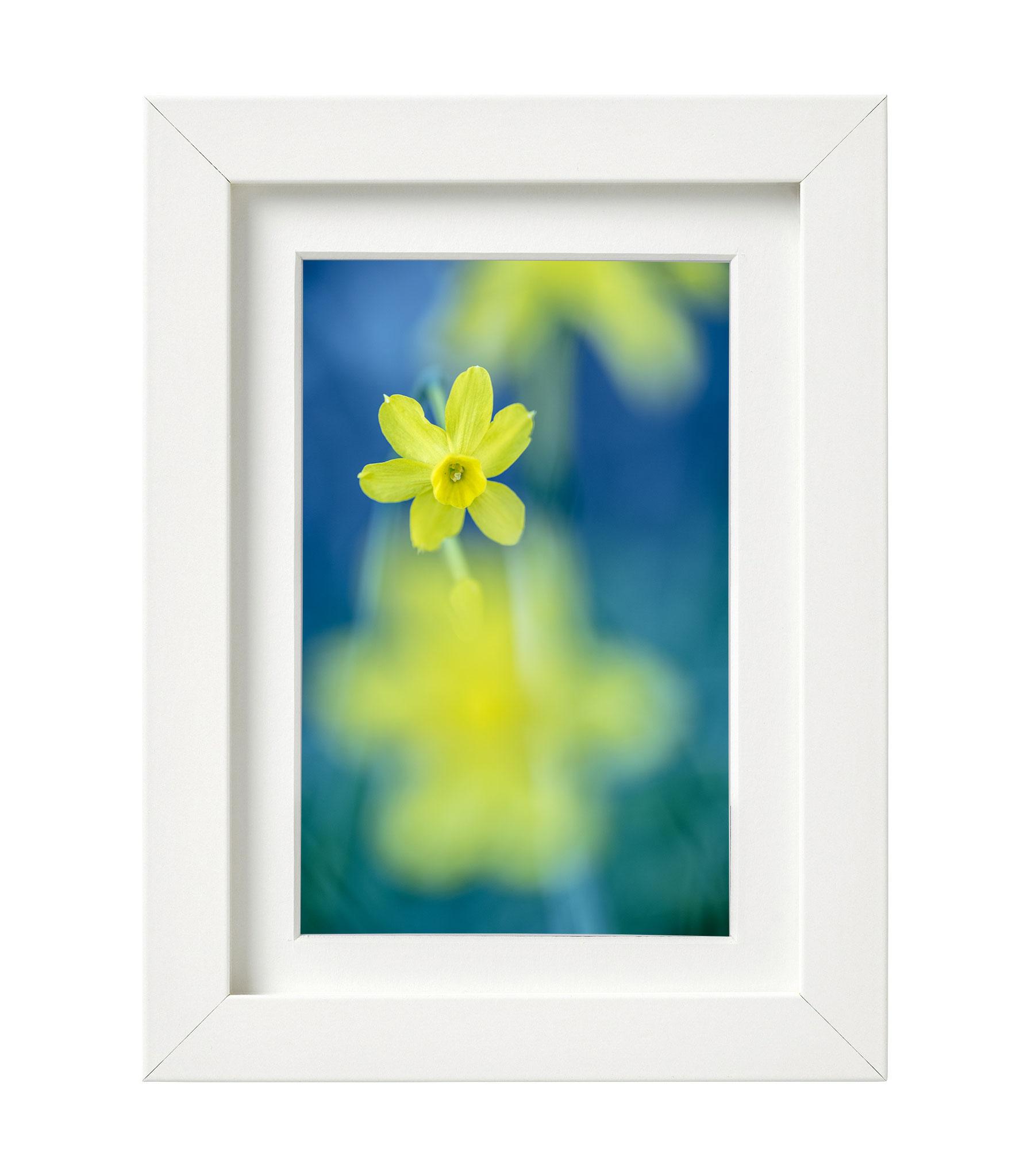 Narcisus jonquilla