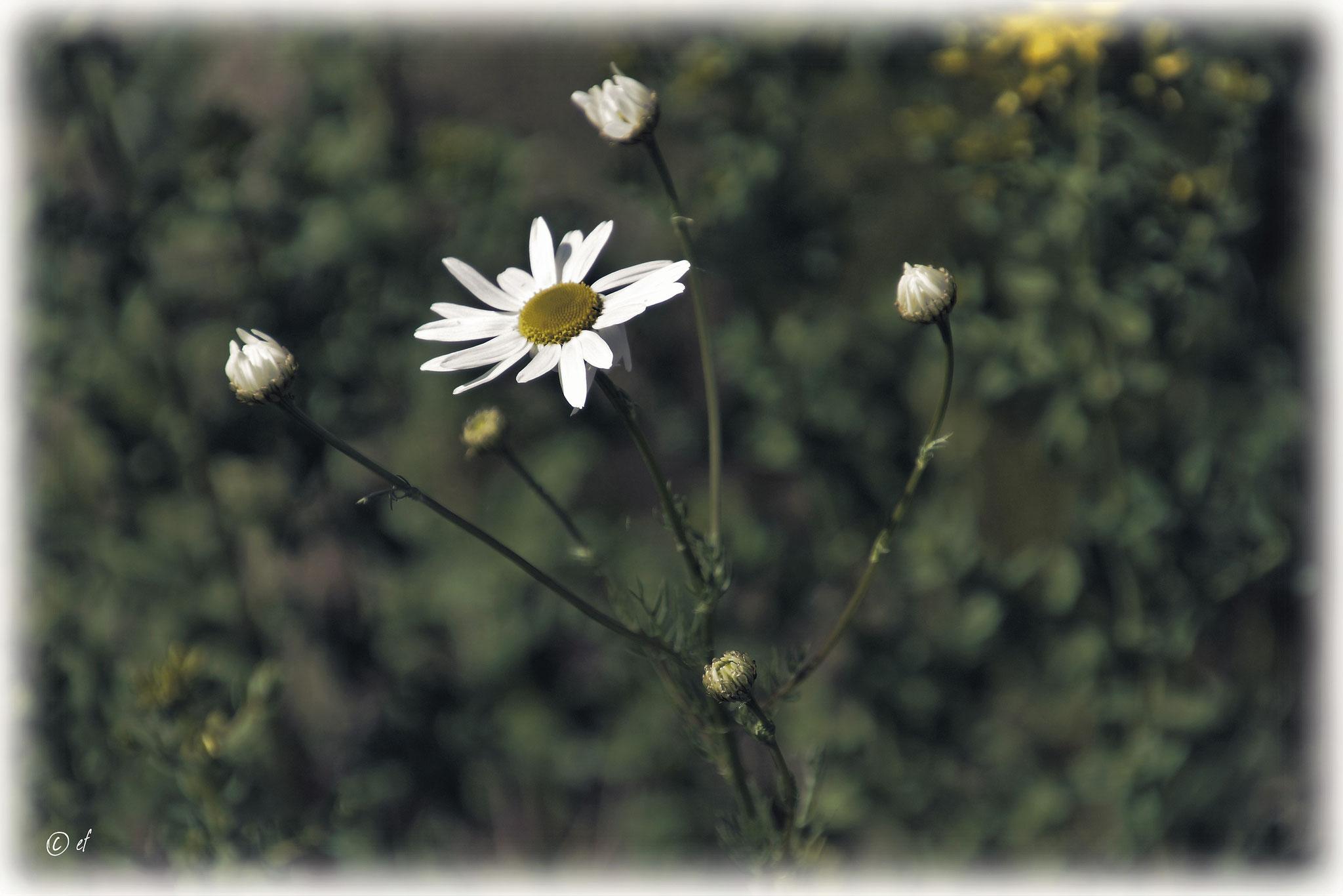 Die Magerwiesen-Margerite