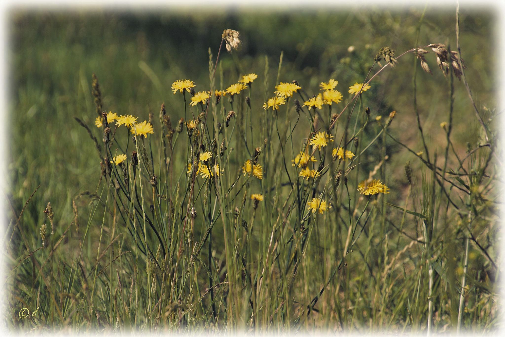 Der Wiesen-Pippau