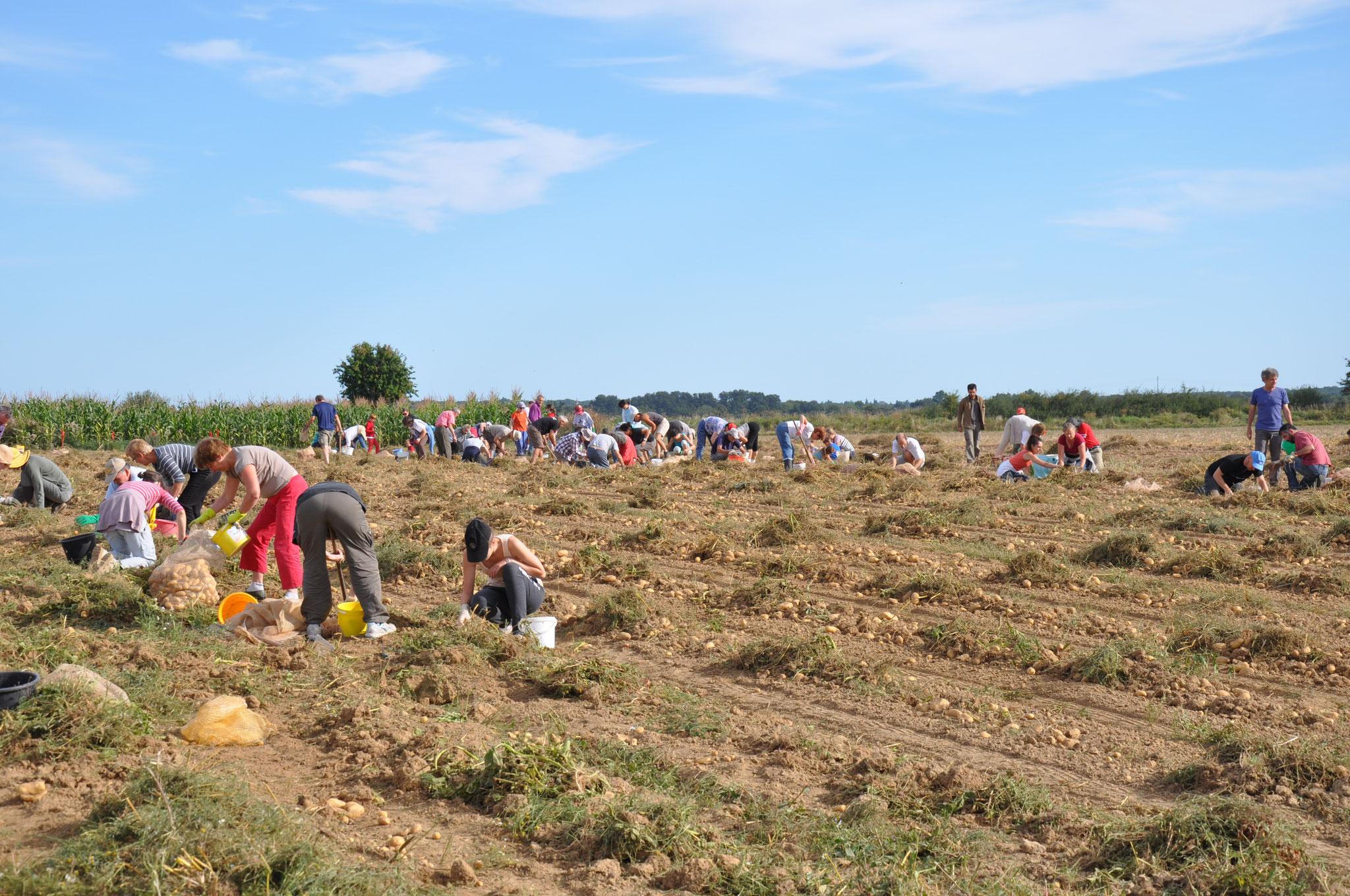 AMAP des Jardins de Cérès : ramassage des pommes de terre par les bénévoles (photo AMAP)