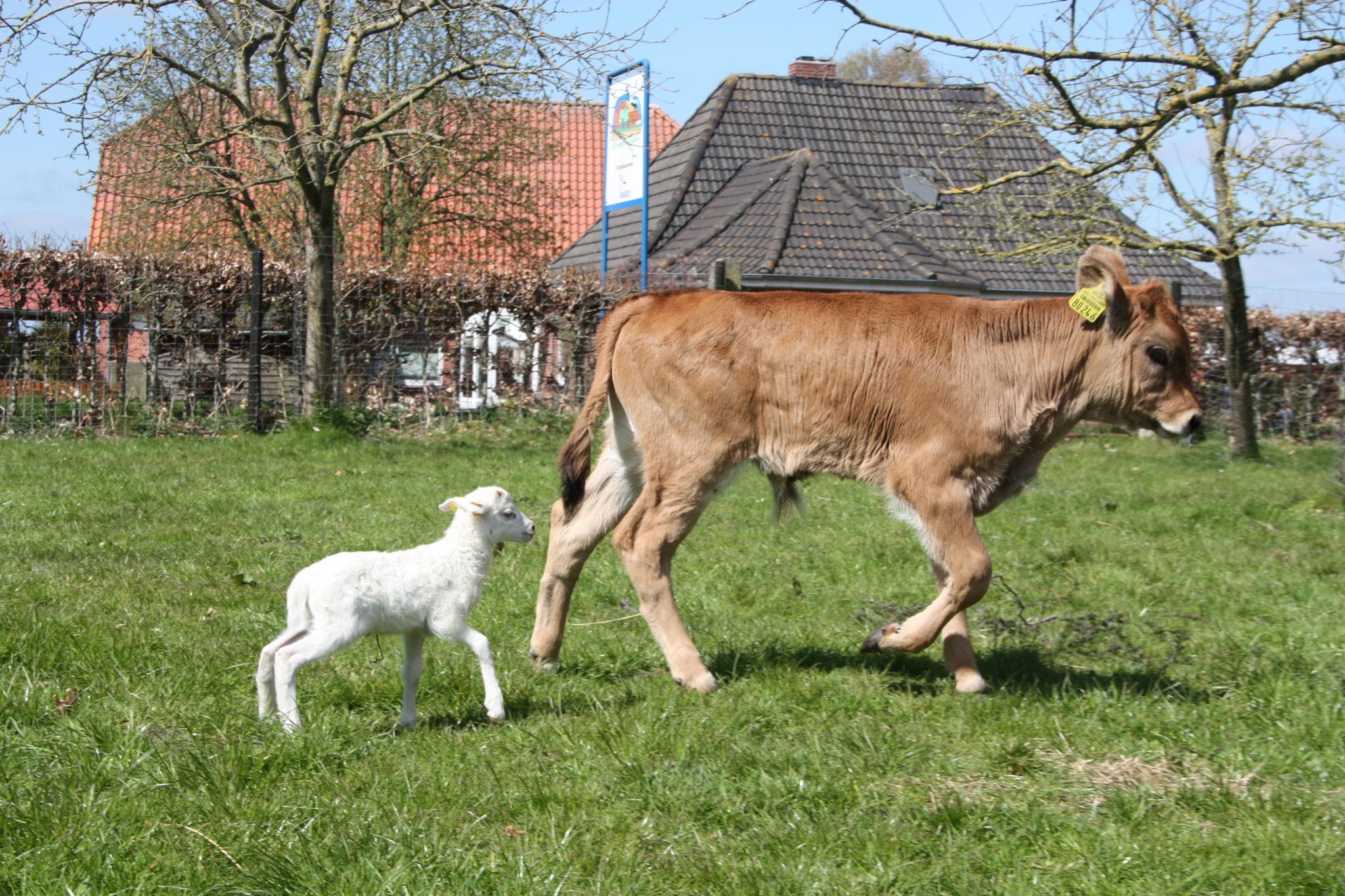 Heckrind Jonte mit Lamm. Foto: NABU-Woldenhof