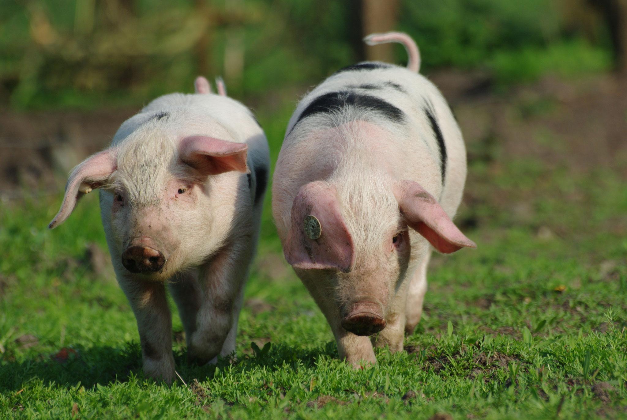 Ferkel des Bunten Bentheimer Landschweines. Foto: NABU Woldenhof