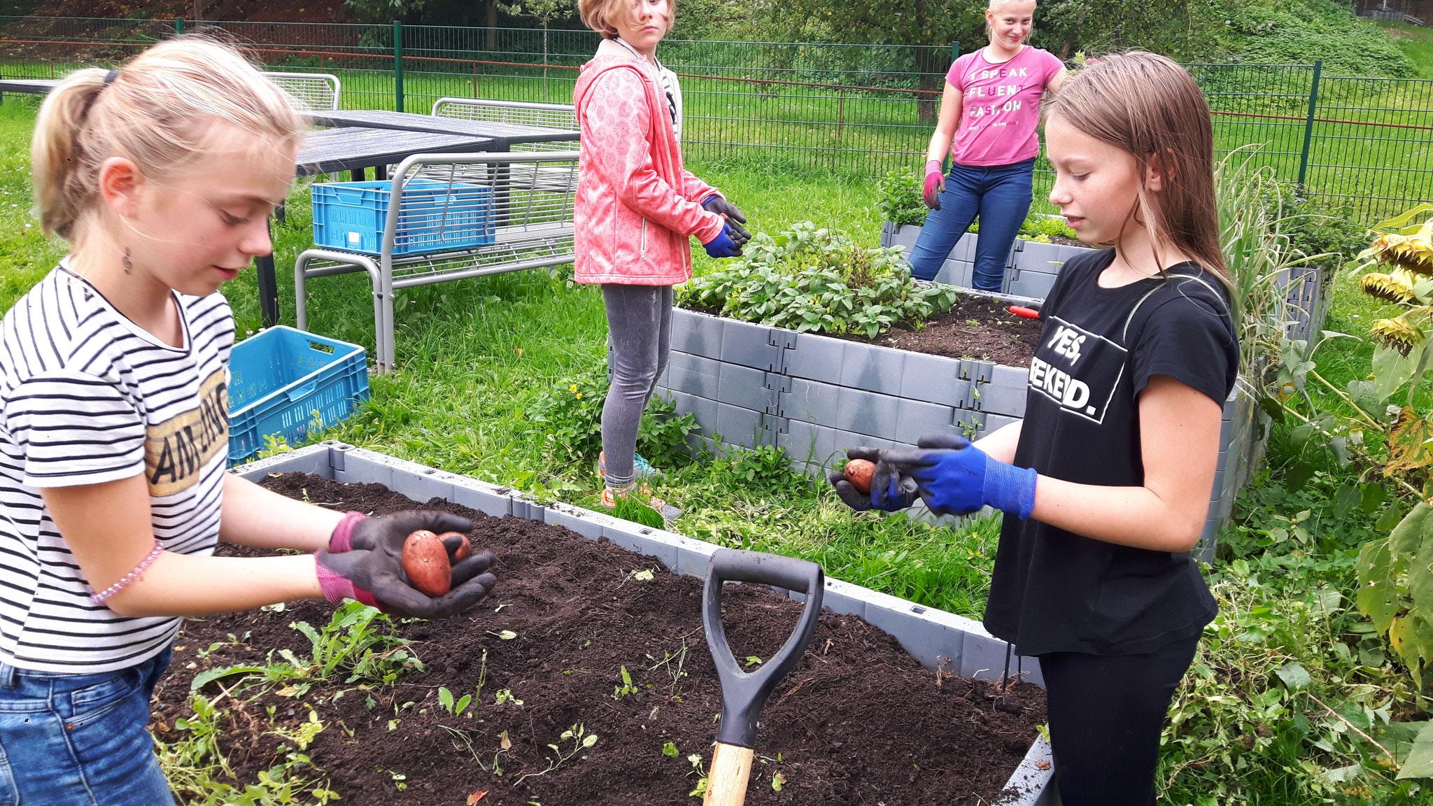 Kartoffelernte mit Frau Habel im Schulgarten