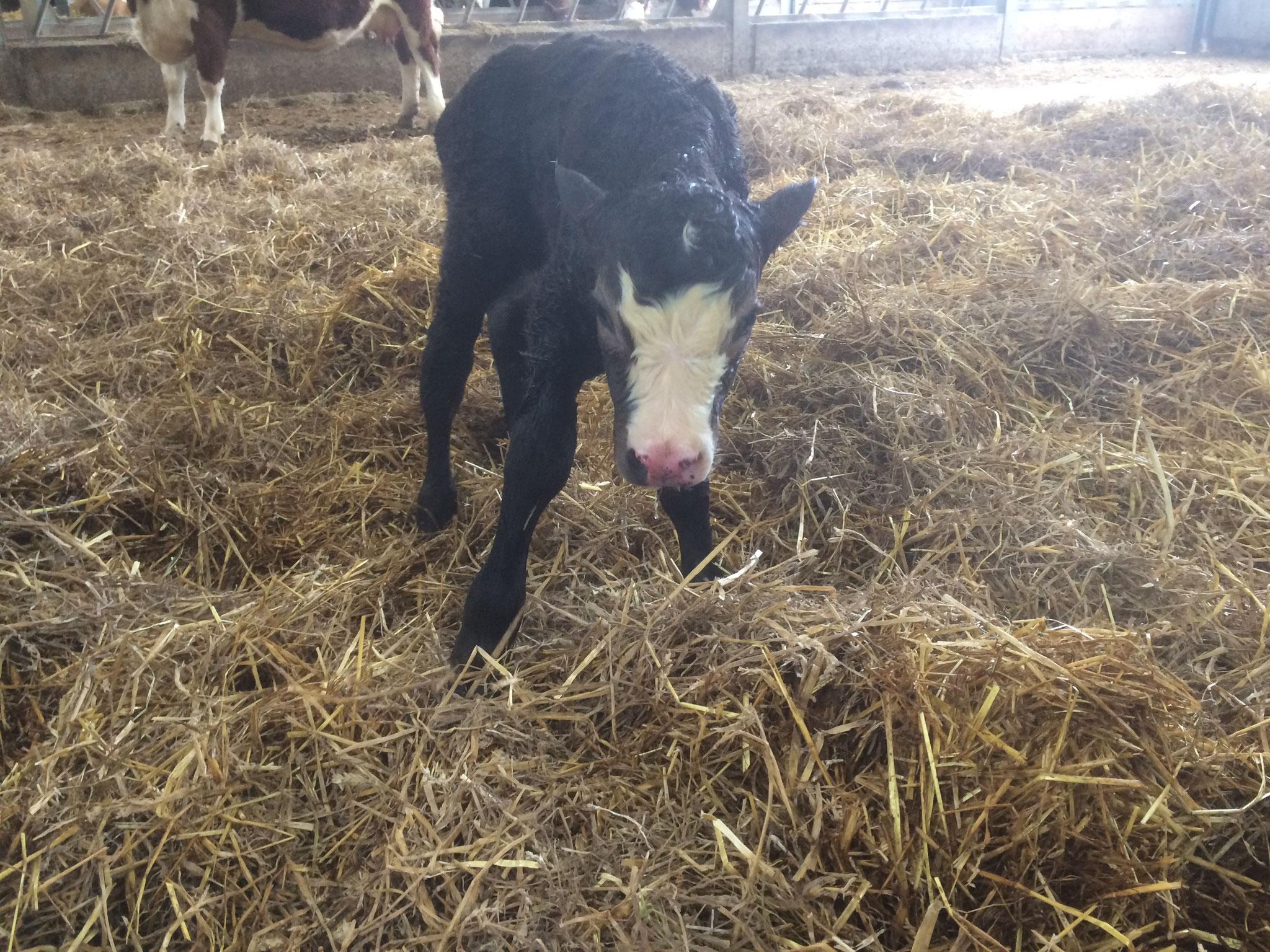 Ratty's Bull Calf